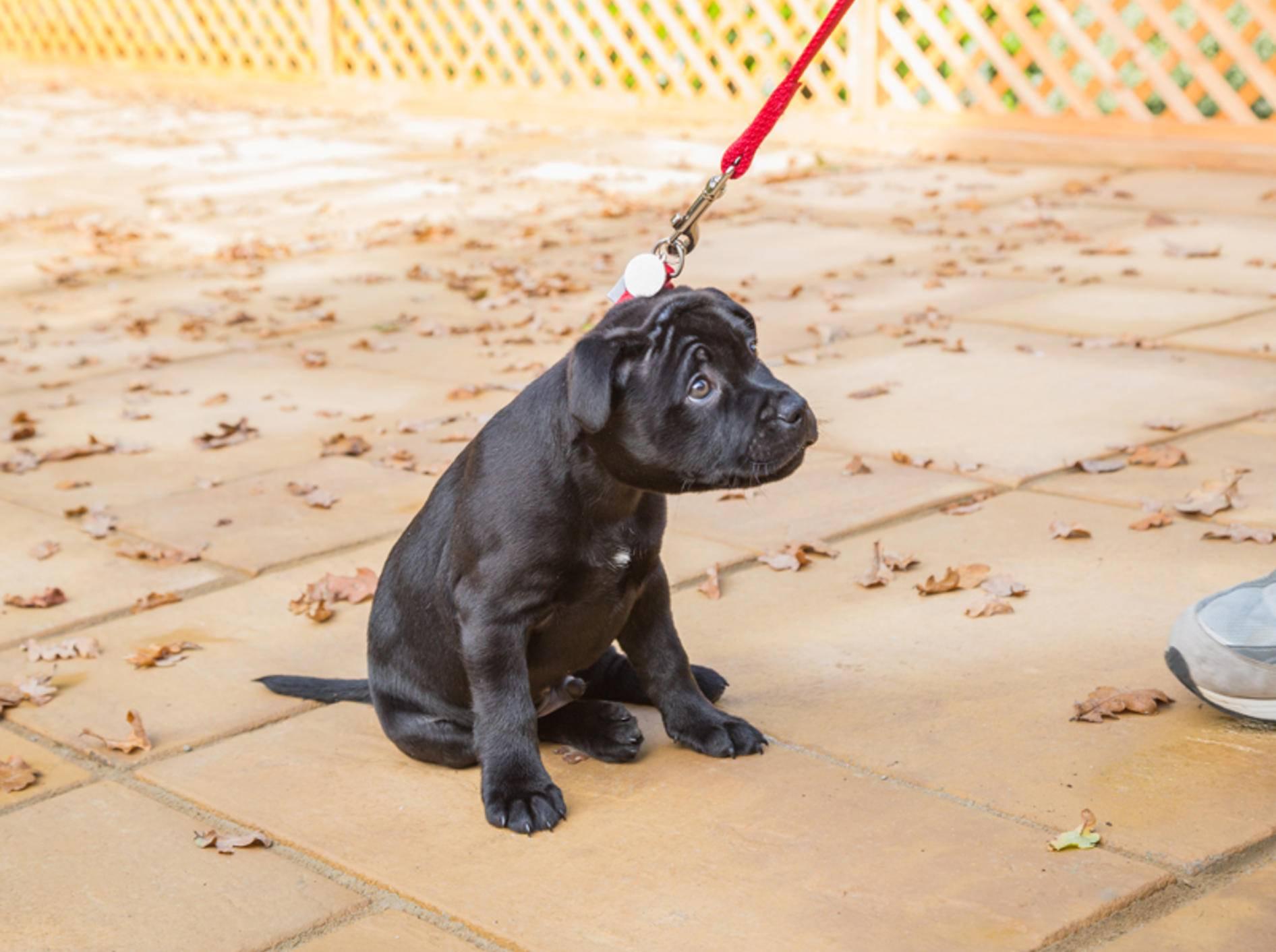 """""""Och Menno, ich mag nicht mehr weiterlaufen"""": Frustration erleben und überwinden ist für Hundewelpen eine wichtige Lektion – Shutterstock / CBCK"""