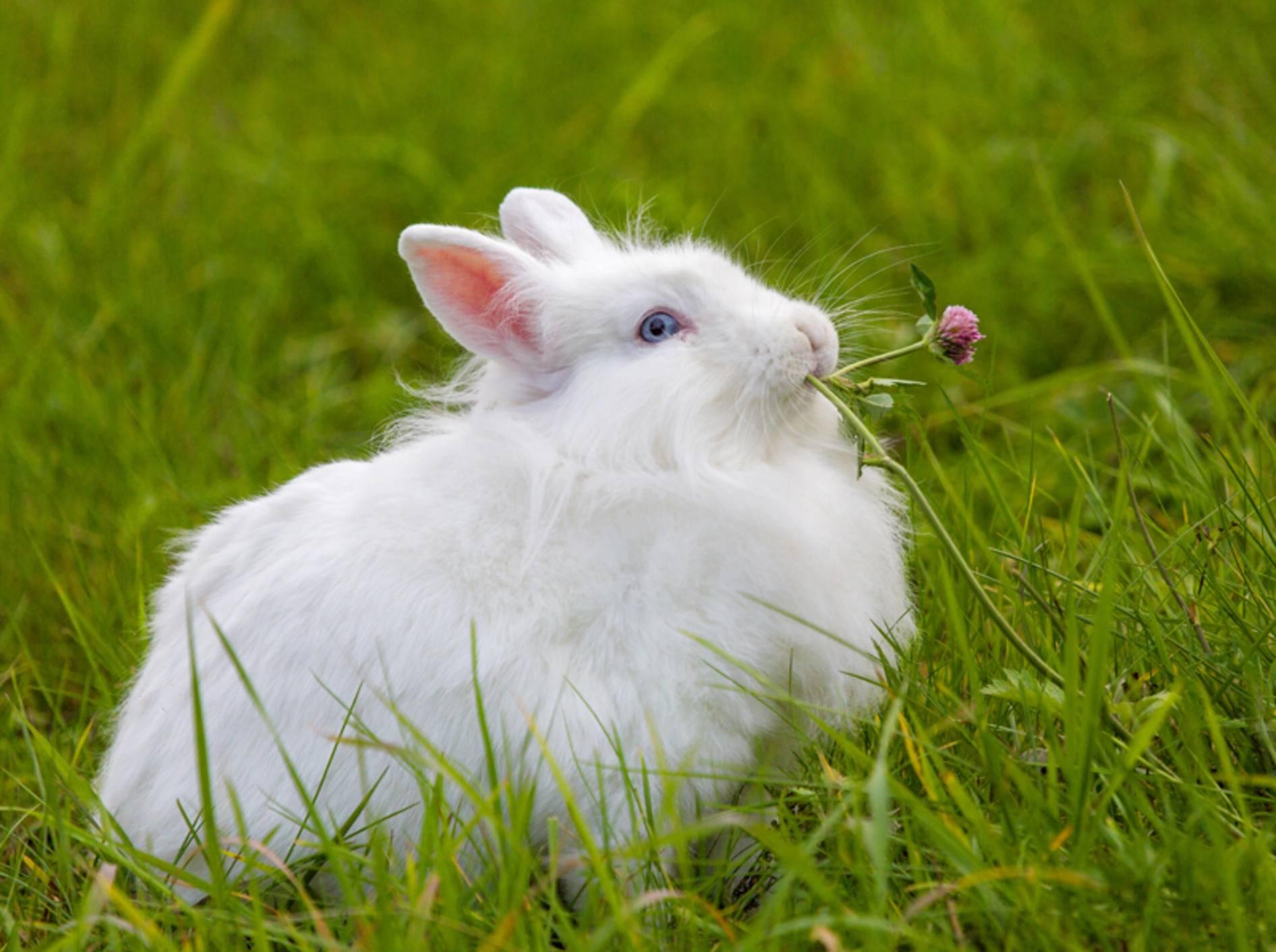 """""""Om-nom-nom, ist das lecker"""", findet dieses Kaninchen auf der grünen Wiese – Shutterstock / Sergey Kudryavtsev"""