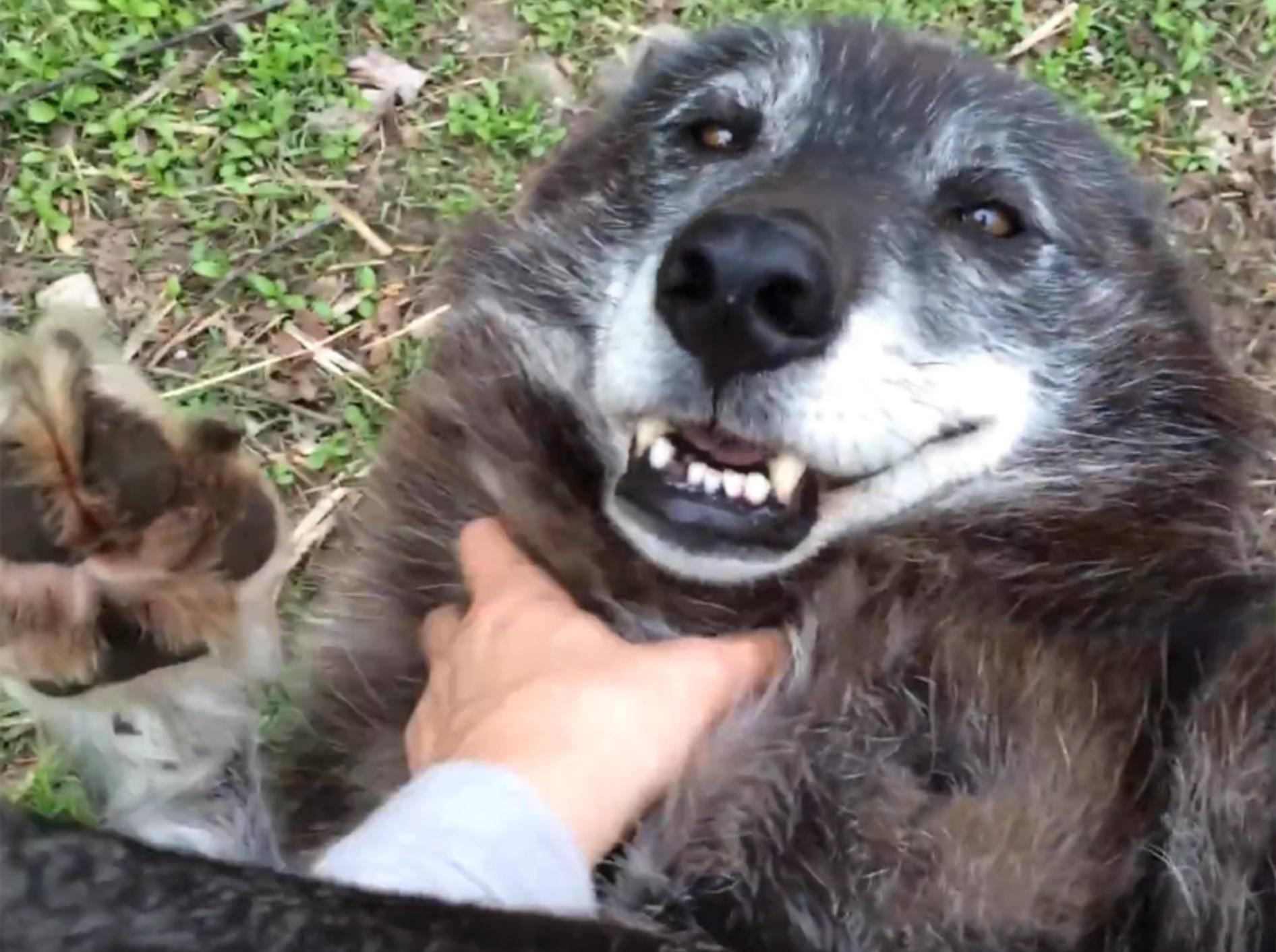 Wolf Lakomi lässt sich den Bauch kraulen und genießt es – YouTube / Sarah and the Wolves