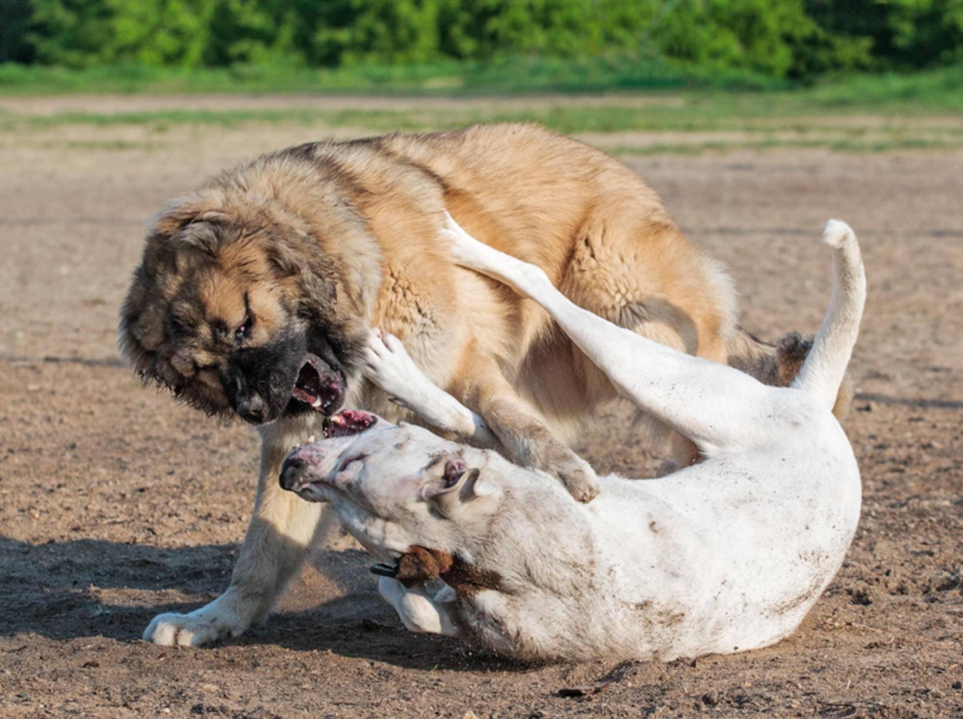 Ist das noch ein Spiel oder schon Mobbing? Zwei Hunde kämpfen – Shutterstock / Oleksiy Rybakov
