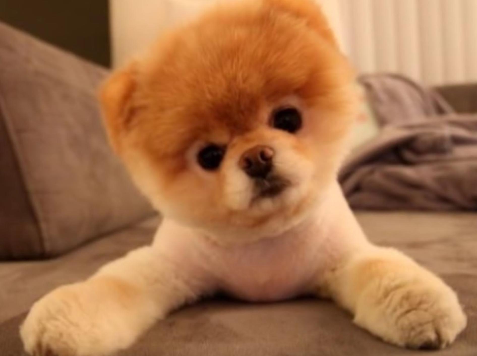 Mehr Fell und Flausch als Hund: Boo ist ein wahrer Knuddelwuff – YouTube / TheRockstarBoo