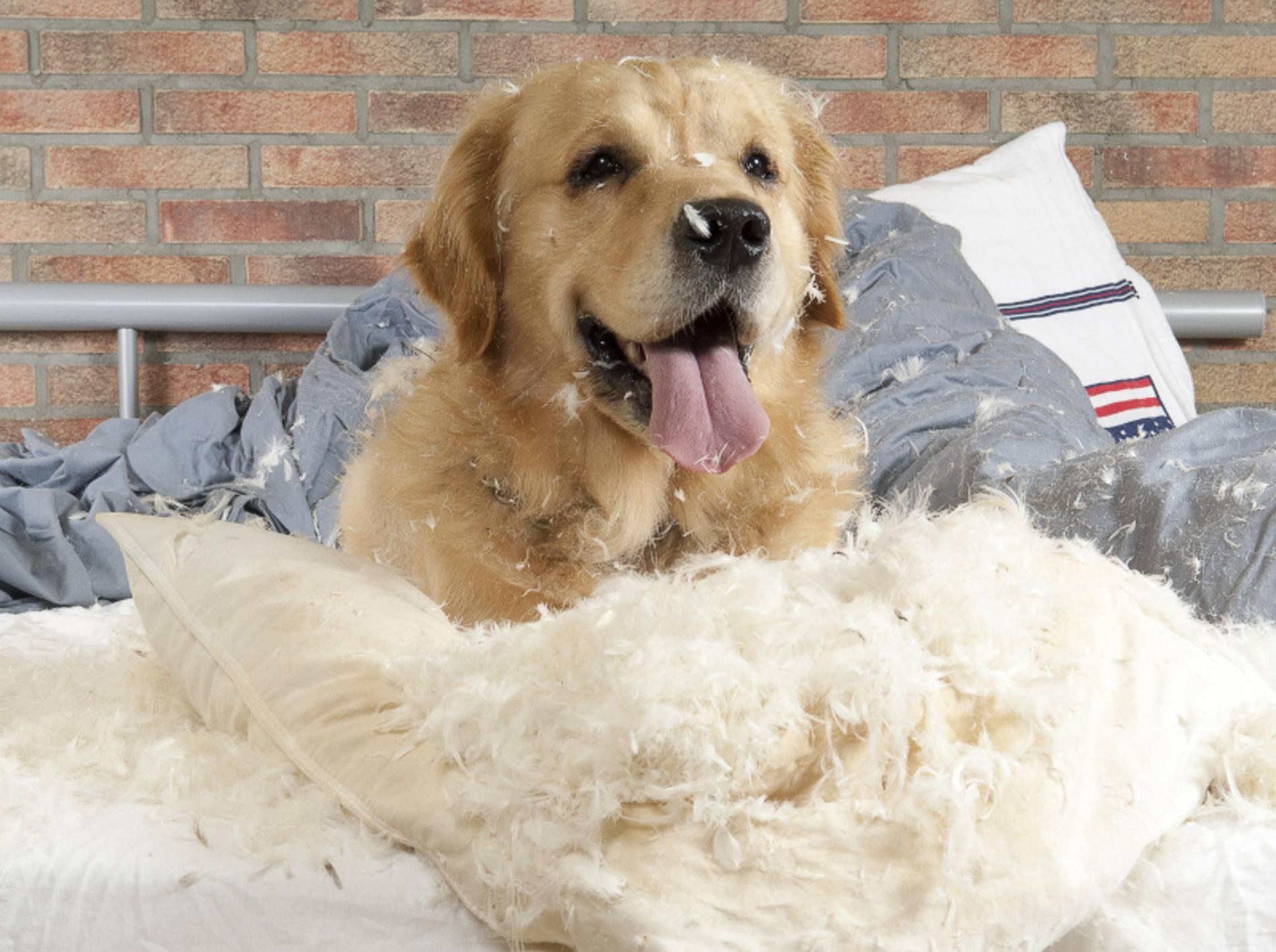 """Hunde mit Trennungsangst können während der Zeit alleine zu wahren """"Zerstörungsmonstern"""" werden – Shutterstock / Jeroen van den Broek"""
