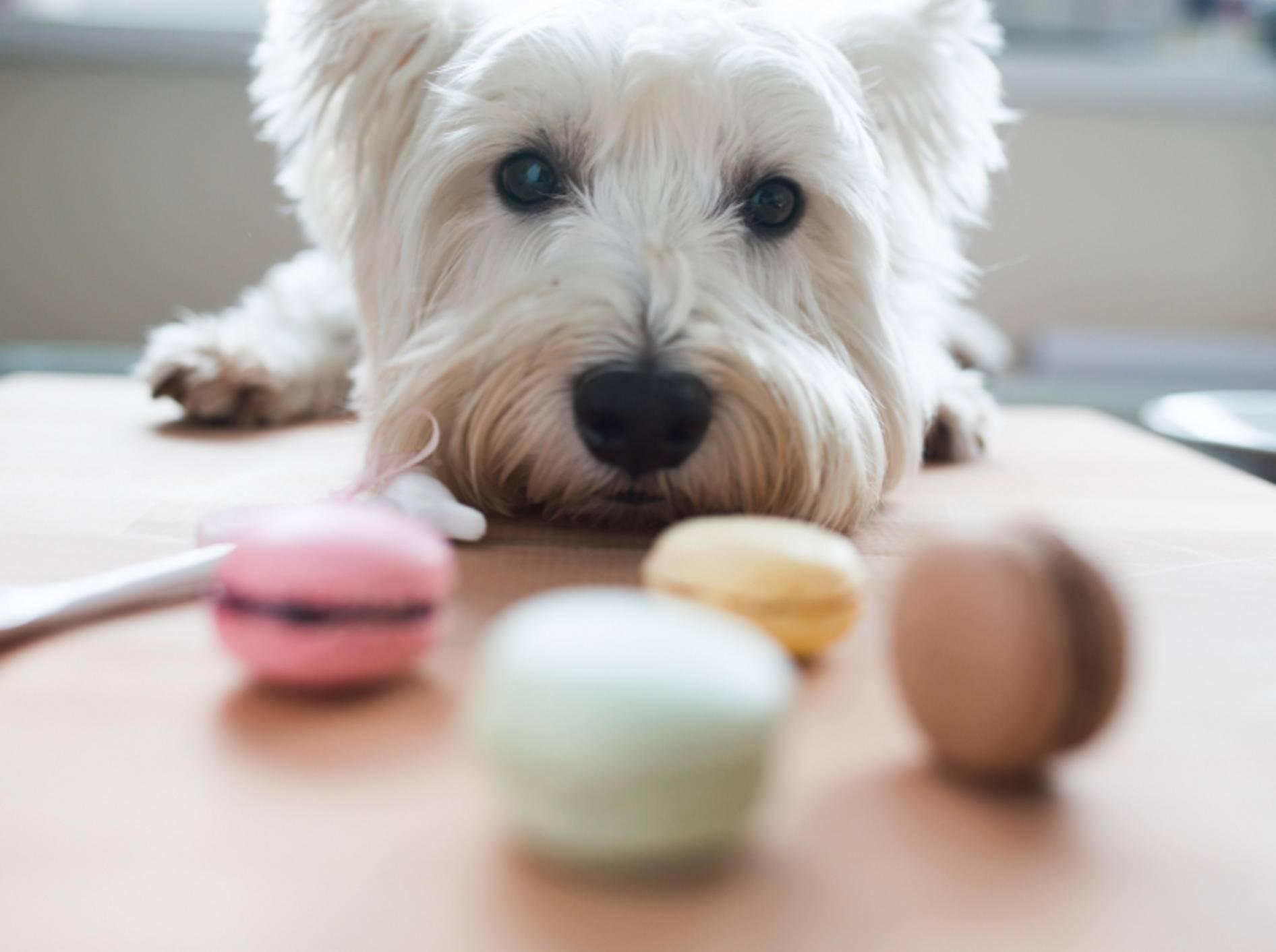 Vorsicht! Lassen Sie nichts für Hunde Giftiges unbedacht und für das Schleckermaul greifbar in der Wohnung rumliegen – Shutterstock / Madebyindigo