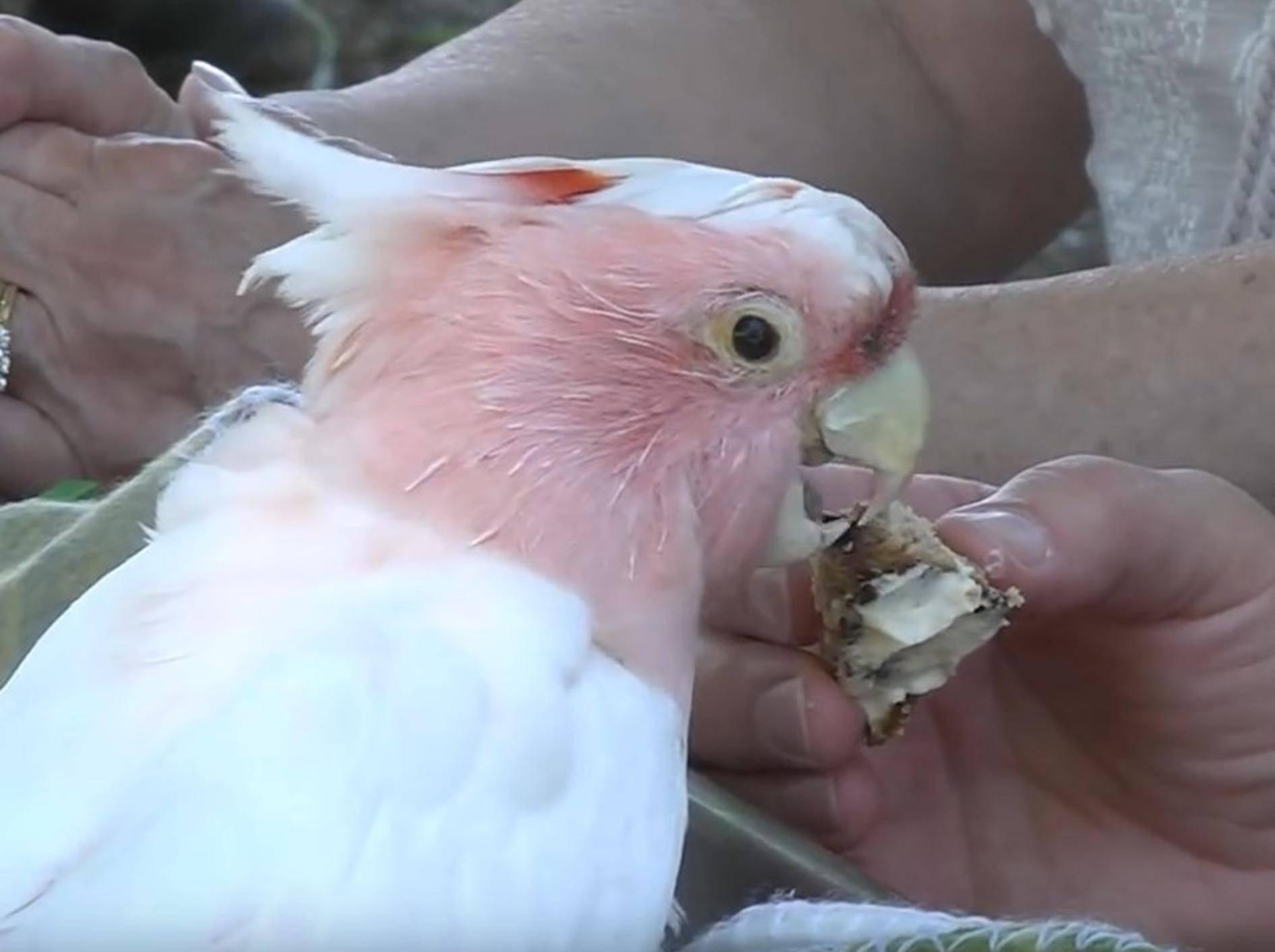 Kakadus können mitunter sehr alt werden – was Cookie mit seinen 83 Jahren beweist – YouTube / Brookfield Zoo
