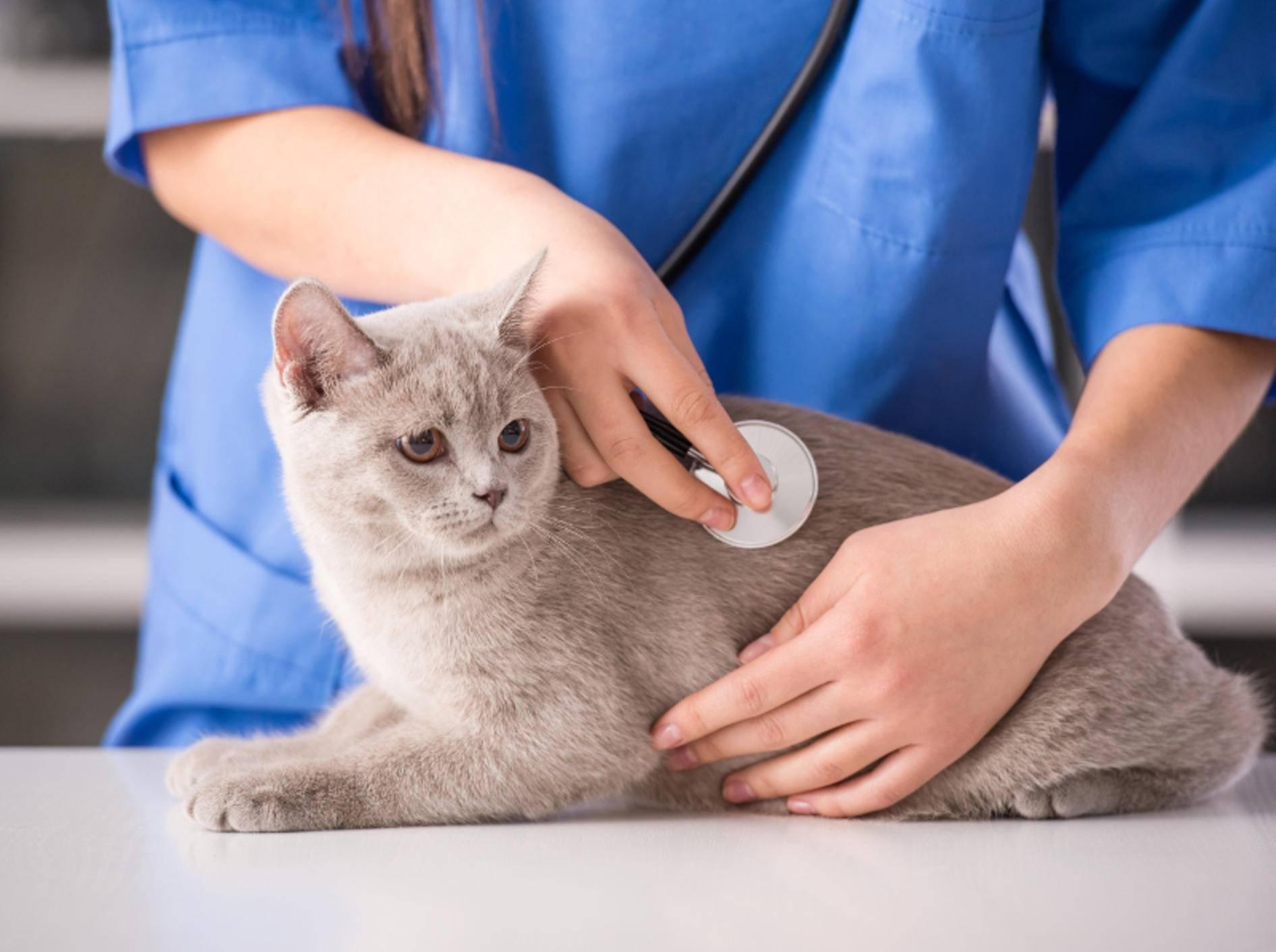 Besonders ältere Katzen sollten regelmäßig beim Tierarzt vorbeischauen – Shutterstock / VGstockstudio