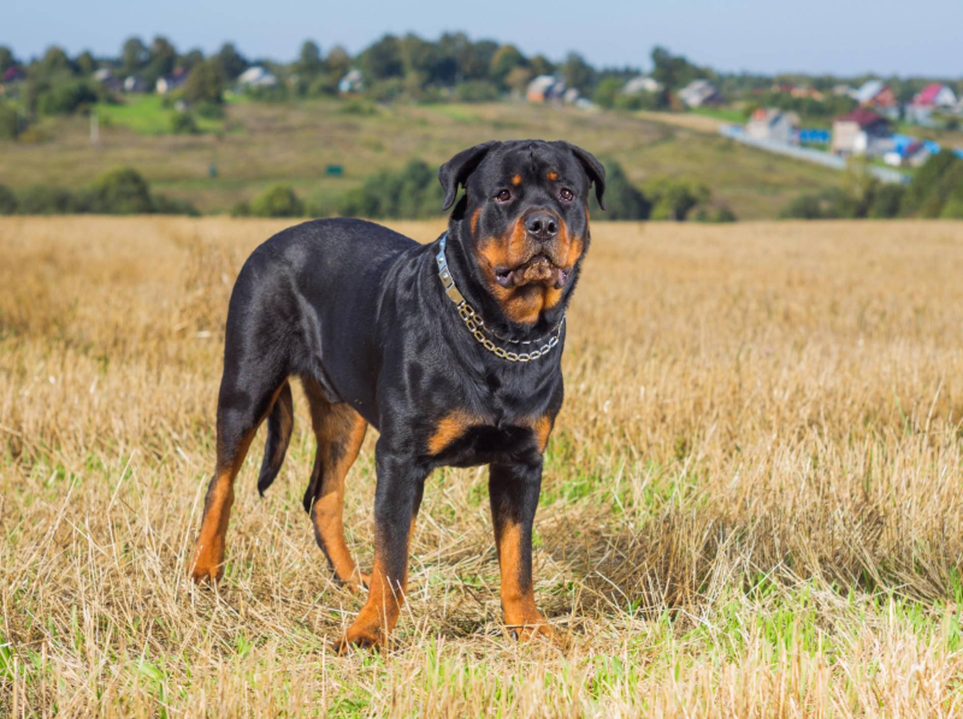 Damit Ihr Rottweiler gesund bleibt, sollten Sie Ihren Tierarzt auf vorbeugende Maßnahmen ansprechen – Shutterstock / Idea Studio