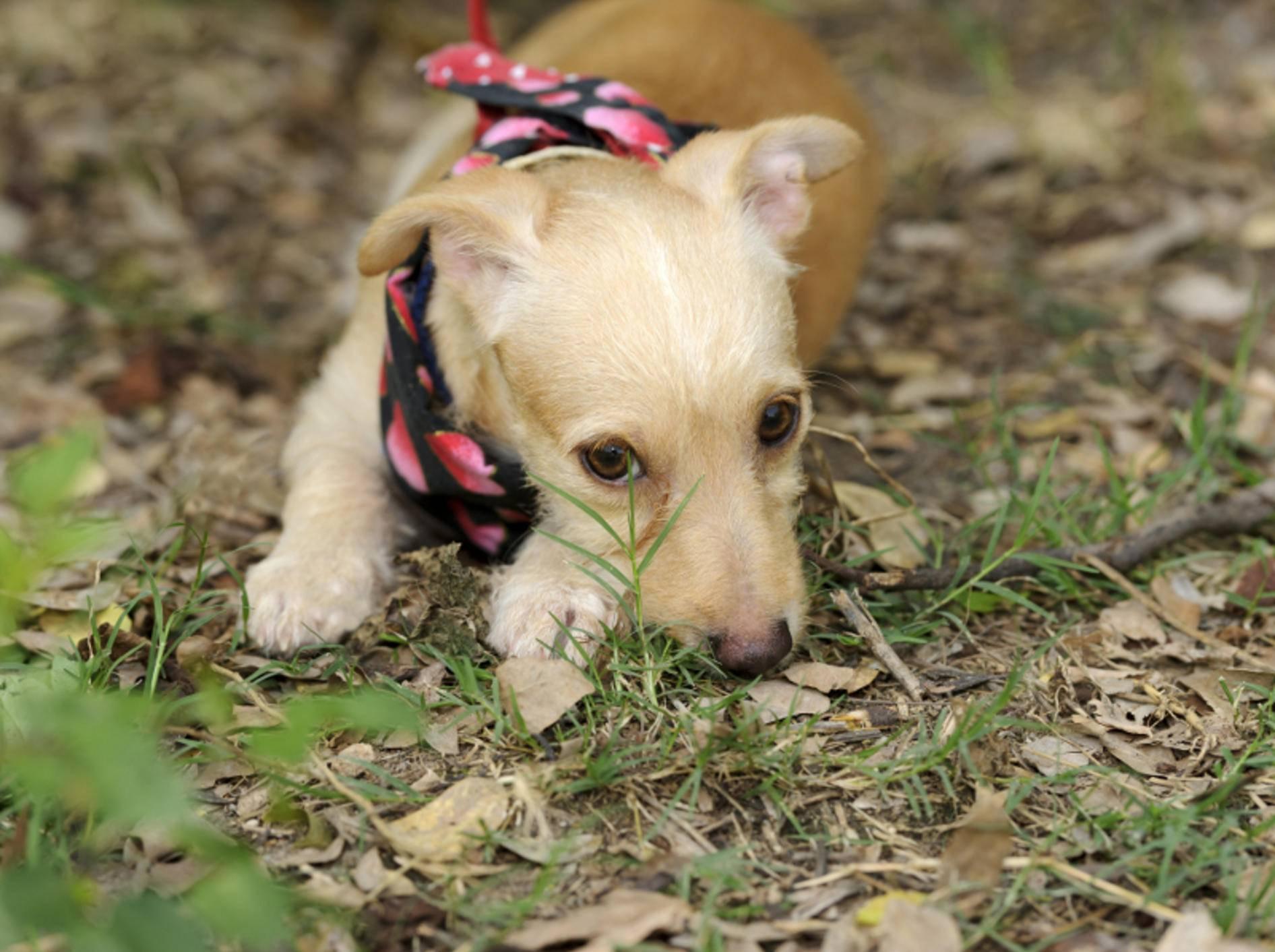 Angelegte Ohren, gesenkter Kopf, eingezogene Rute – scheue oder ängstliche Hunde zeigen ihre Angst meist sehr deutlich – Shutterstock / David Porras