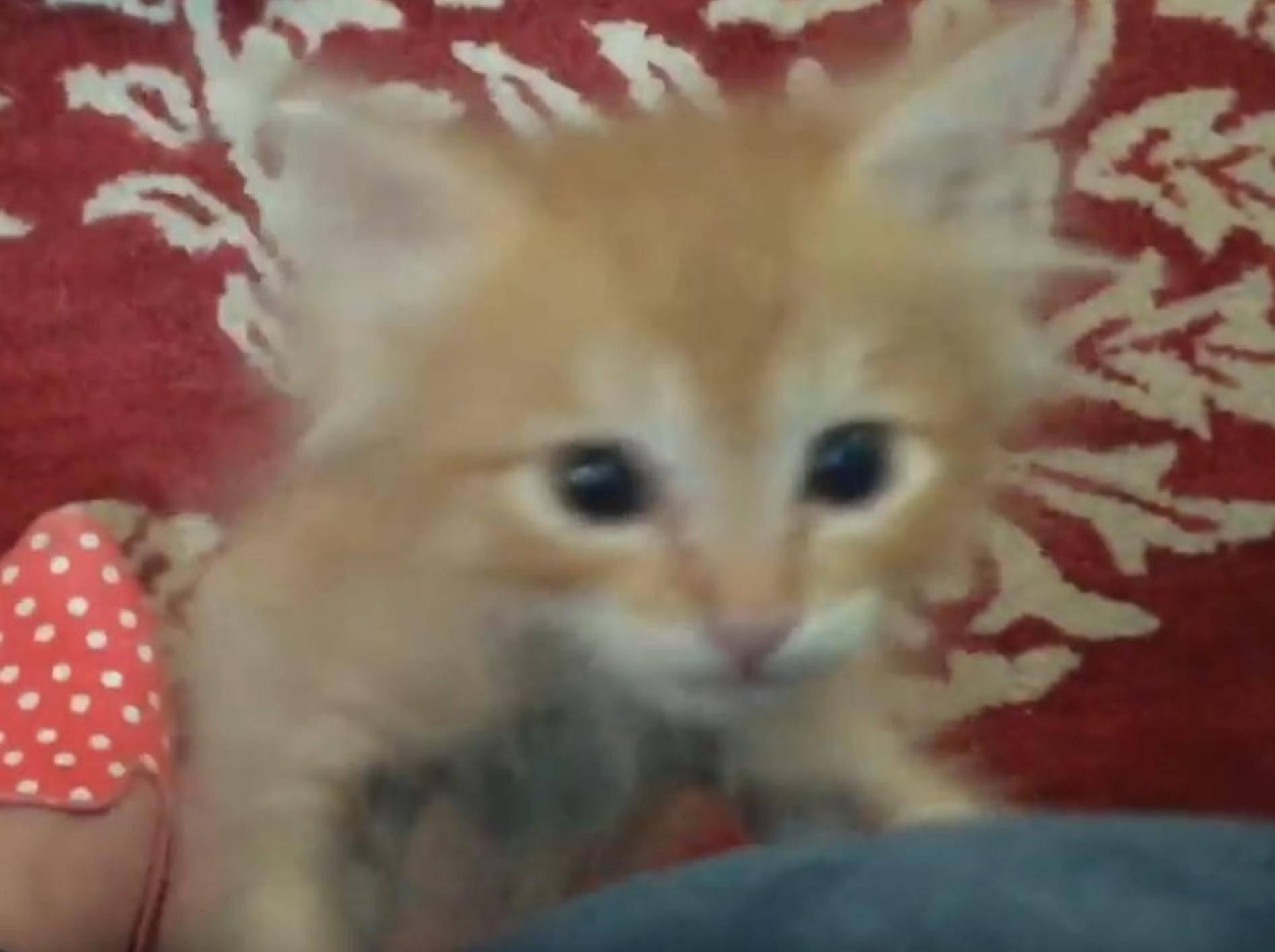 Der kleine Racker fordert lautstark sein Futter ein – YouTube / foster kittens