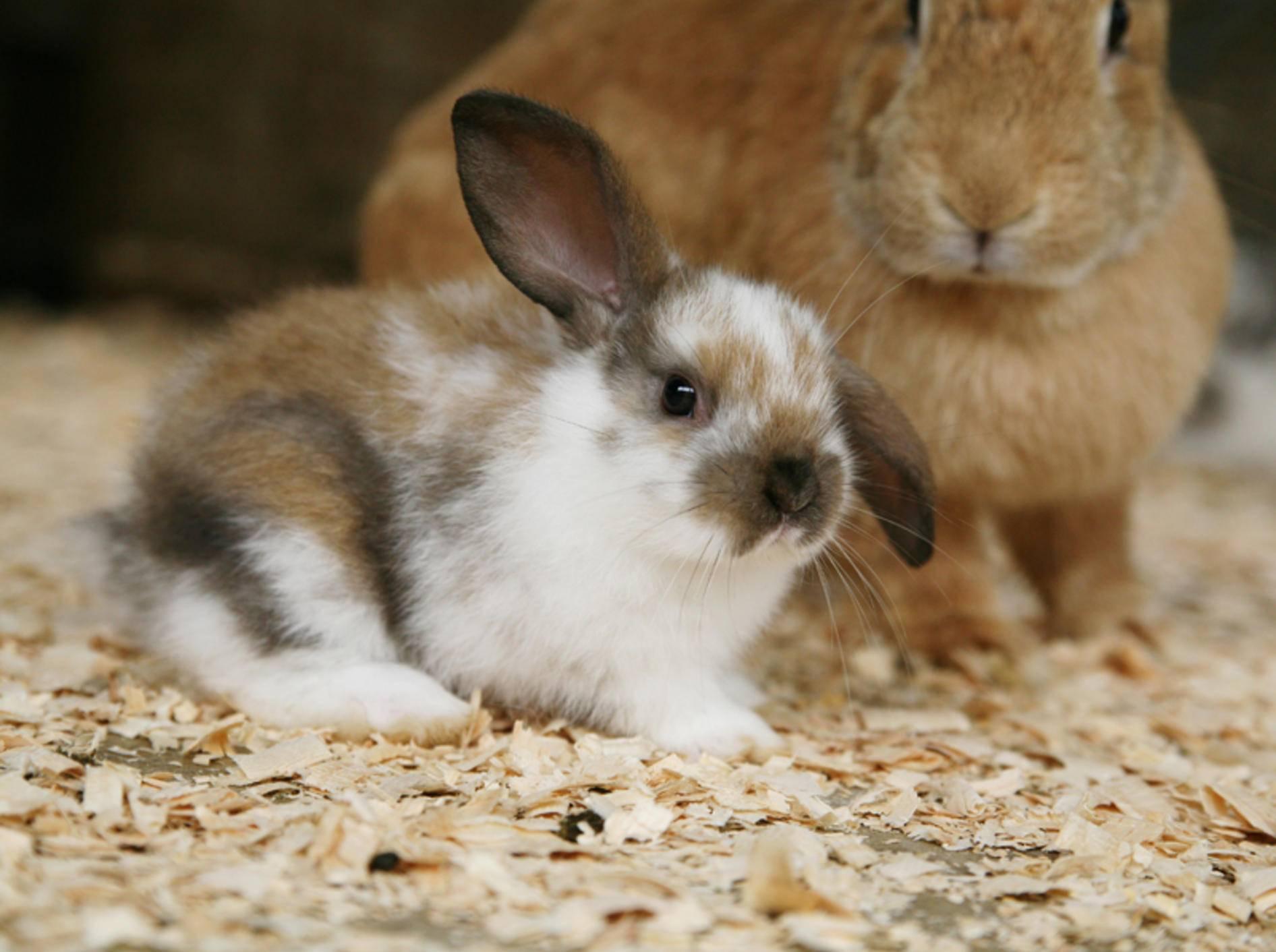 Dieses Kaninchenbaby ist schon ein paar Wochen alt; als Nesthocker kommen Baby-Kaninchen blind und nackt zur Welt – Shutterstock / Sue McDonald