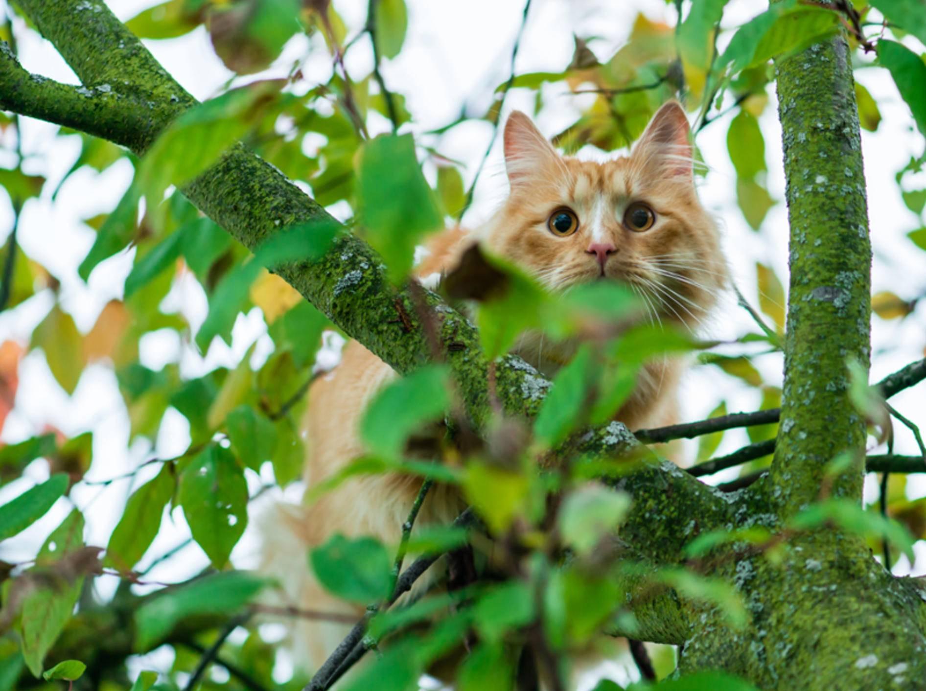 """""""Oh je, das Raufklettern war so einfach, aber wie komme ich jetzt wieder hier runter?"""", fragt sich diese rote Katze – Shutterstock / smspsy"""