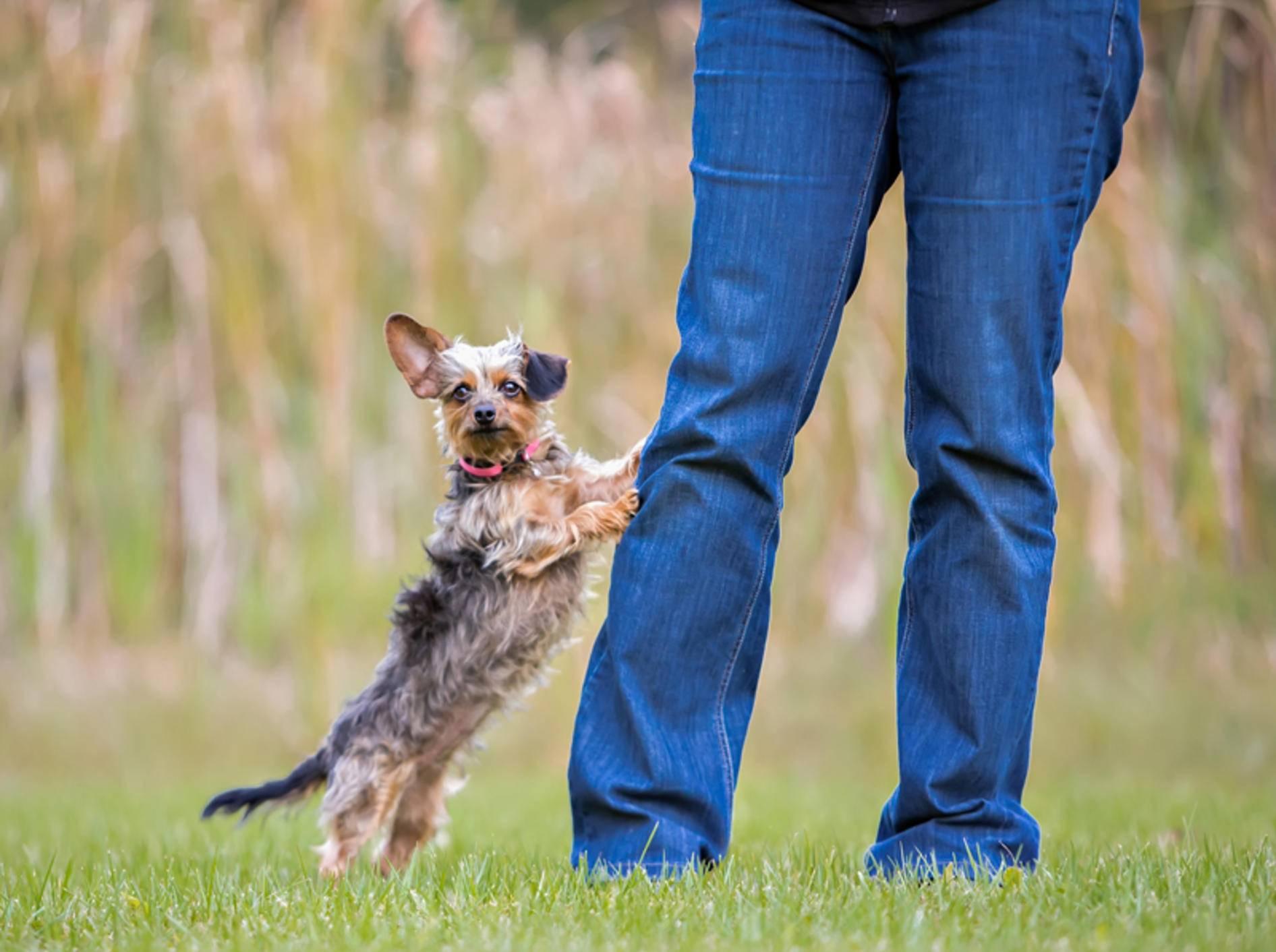 """""""Duuu, guck mal, hier unten, hier bin ich, beachte mich!"""": Frecher kleiner Hund will sofort Aufmerksamkeit – Shutterstock / Victoria Rak"""