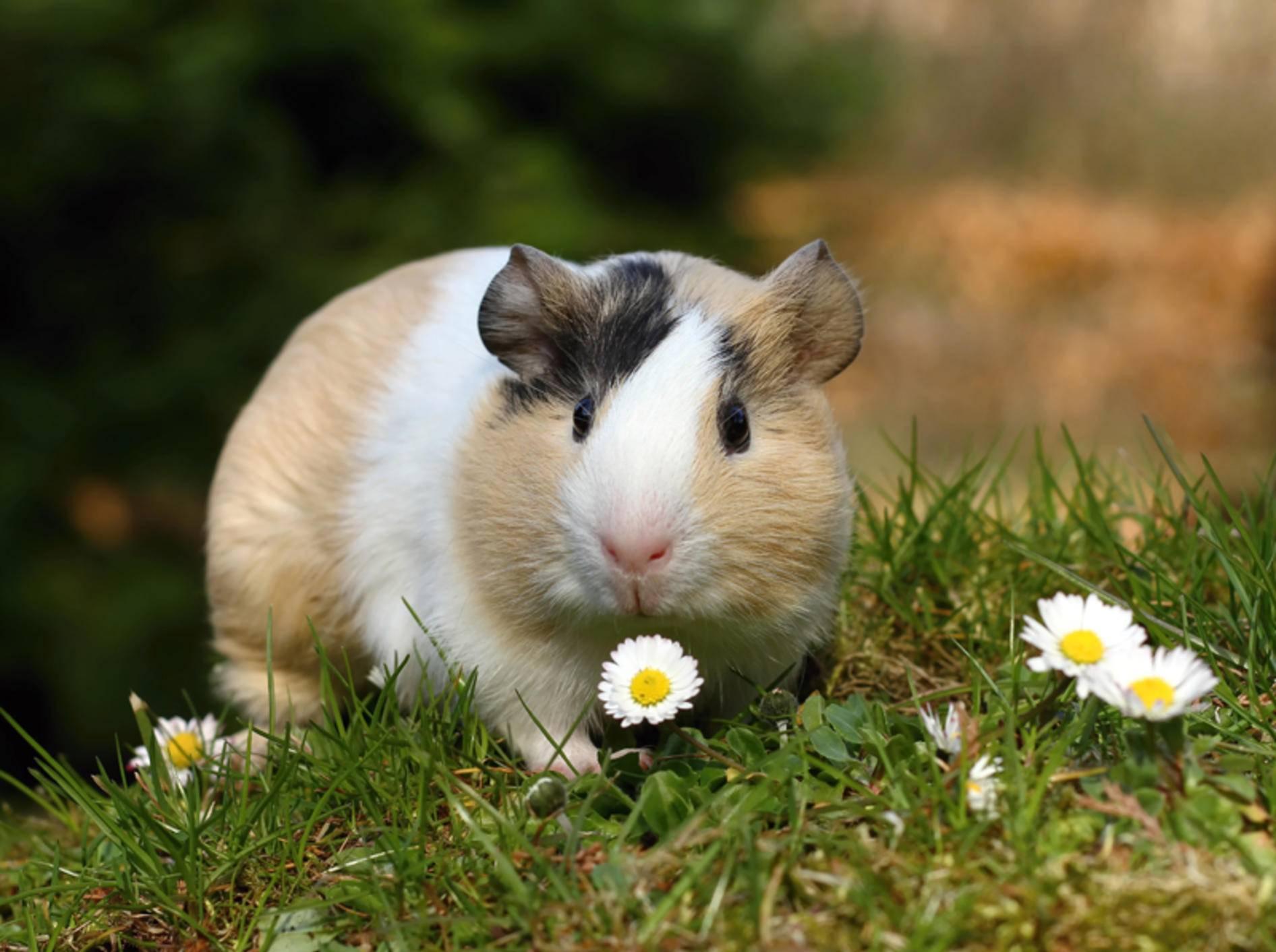 Meerschweinchen fressen gern frisches Gras und Wiesenkräuter – Shutterstock / Miroslav Hlavko