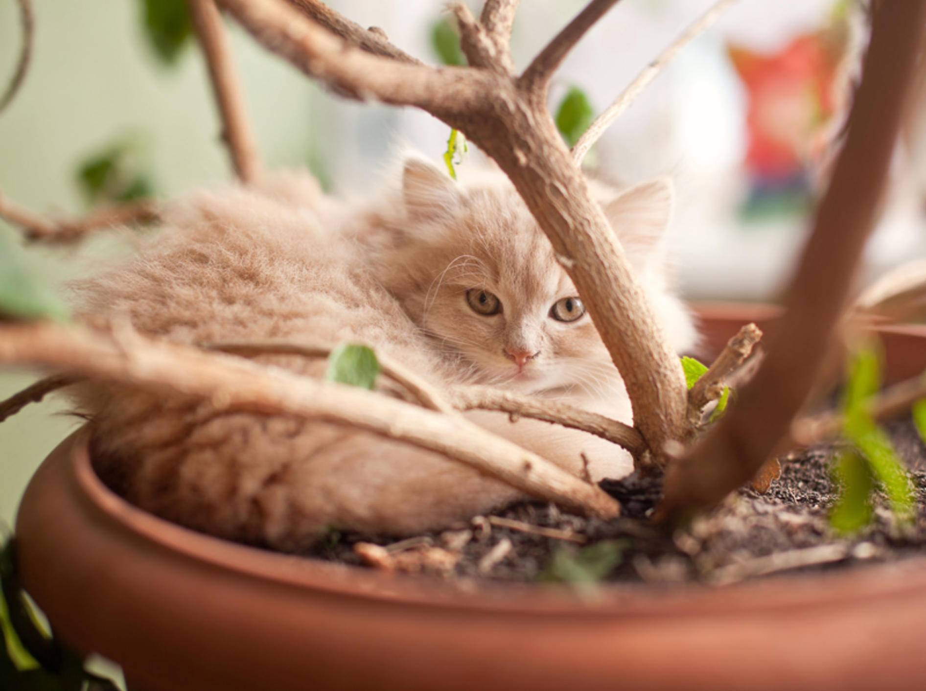 """""""Hier im Blumentopf lässt es sich aushalten"""", findet dieses rote Flauschkätzchen – Shutterstock / Nykonchuk Oleksii"""