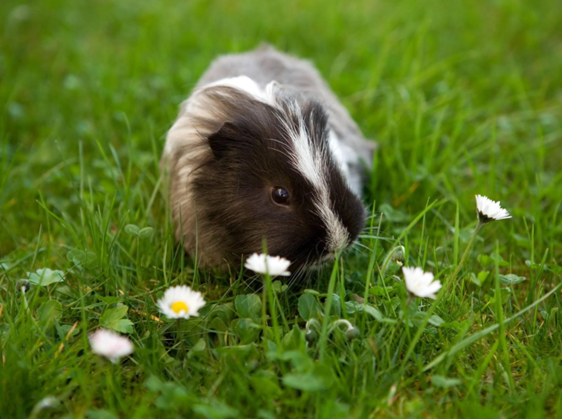Meerschweinchen sind reine Veganer und fressen viel lieber Gänseblümchen als Joghurtdrops – Shutterstock / Gordana Sermek