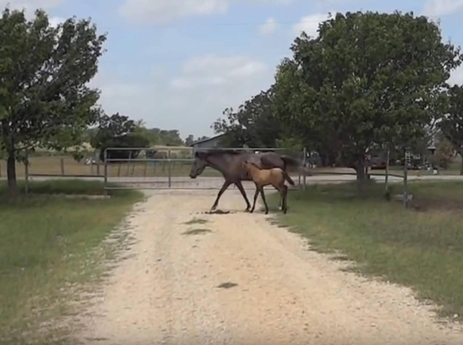 Pferdemama bringt ihrem Fohlen das Springen bei – YouTube / k9element