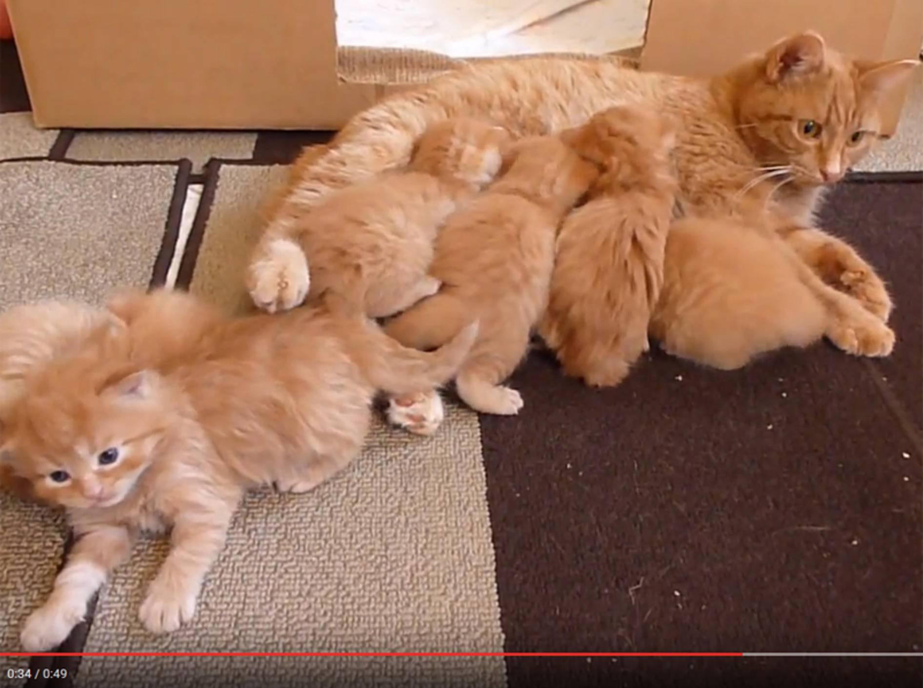 Rote Kätzchenbande mit ihrer Mama und beim Spielen – YouTube / TashaKatt