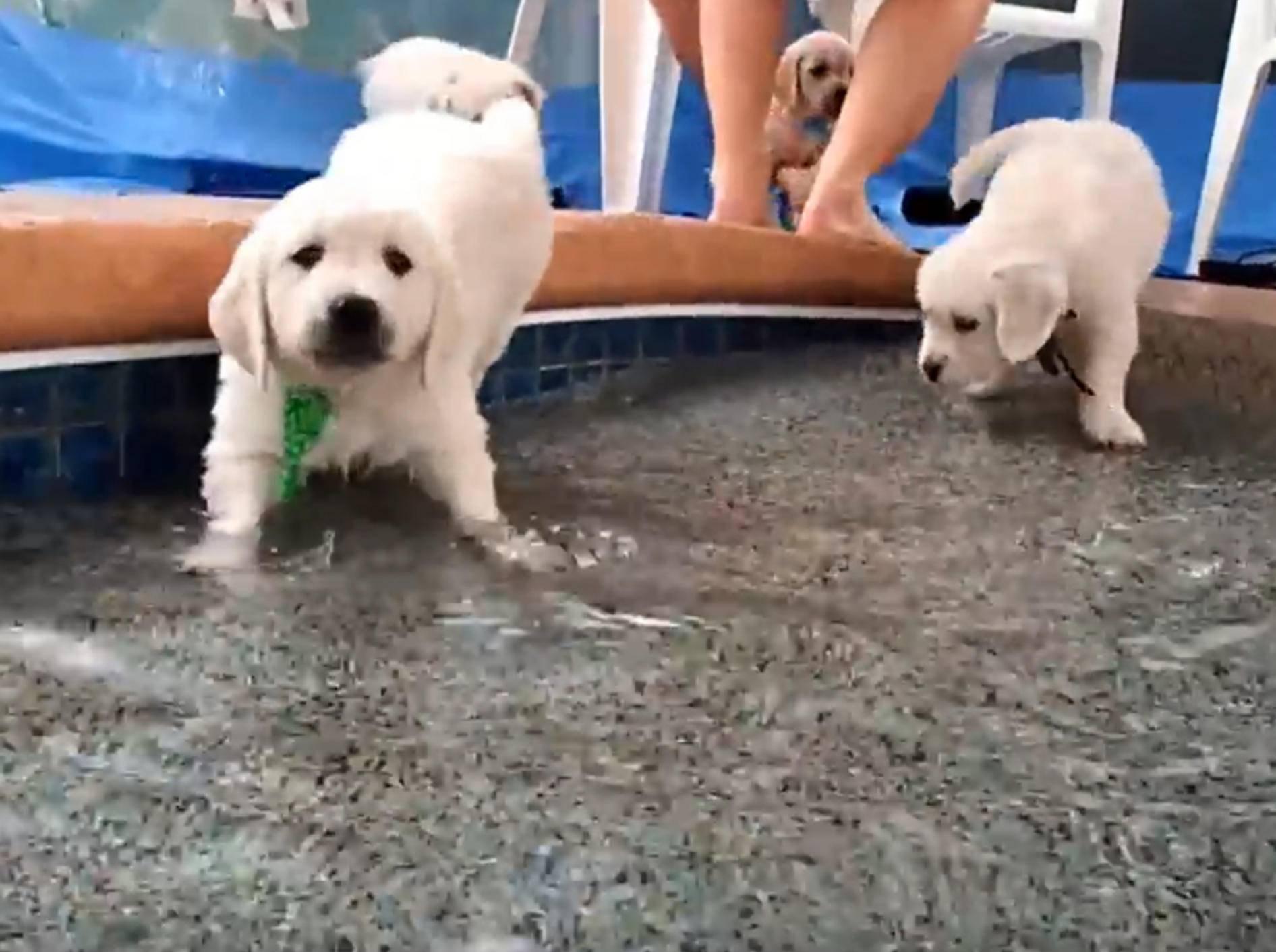 Golden-Retriever-Welpen lernen Schwimmen – YouTube / The Best of Rummy's Beach Club