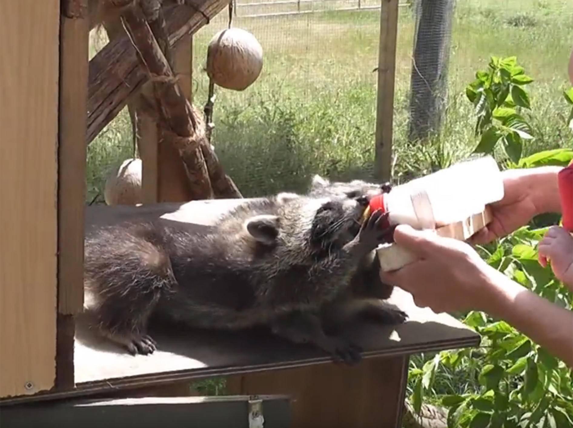 Quirlige Waisenwaschbärenbande wird liebevoll aufgepäppelt – YouTube / mbhsug