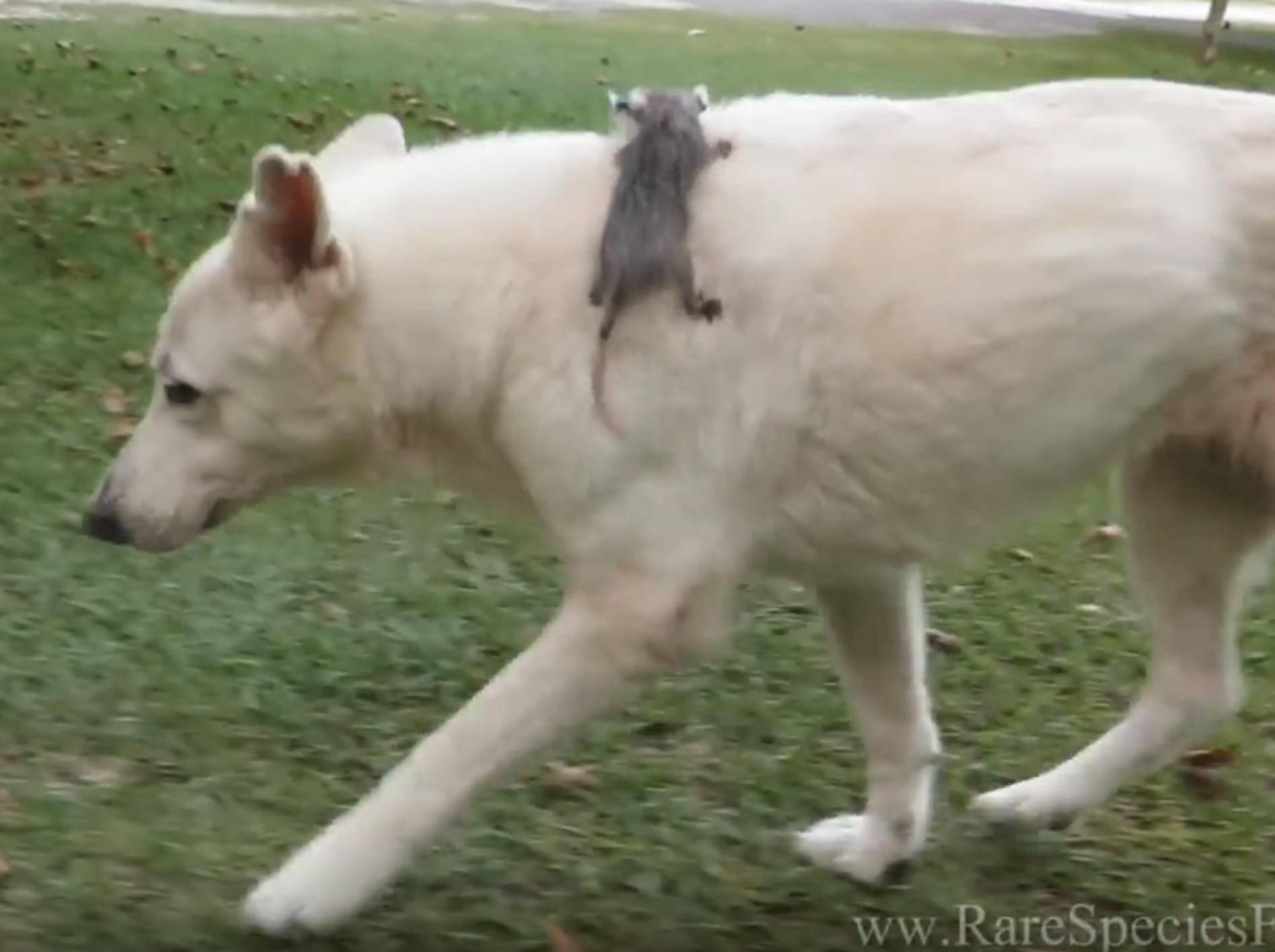 Weiße Schäferhündin adoptiert verwaistes Baby-Opossum – YouTube / MyrtleBeachSafari