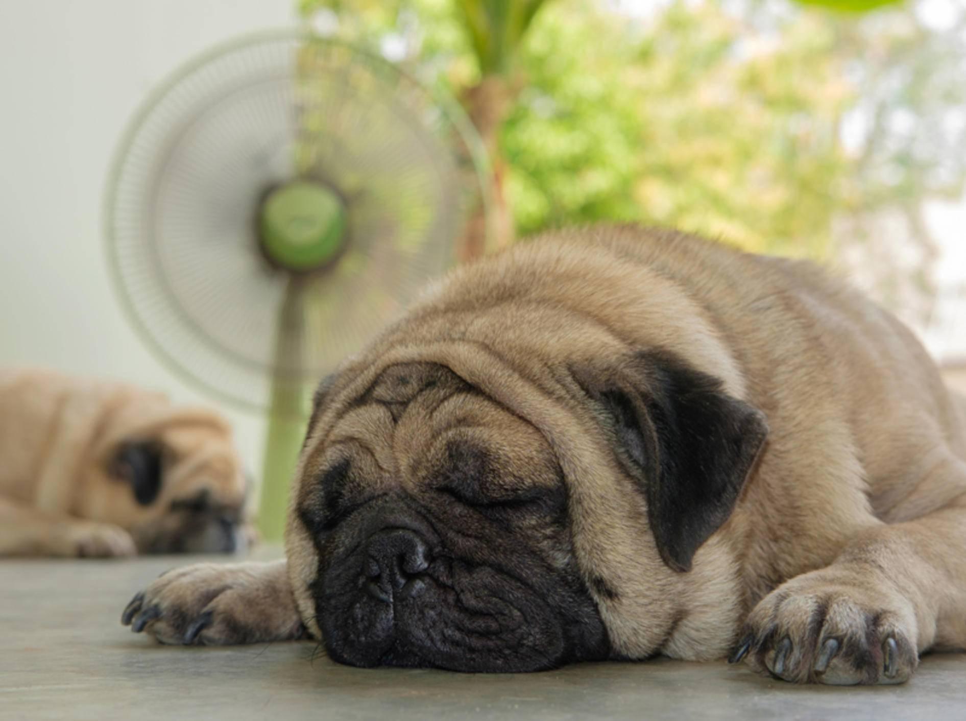 Achtung! Zugluft vom Ventilator ist nicht gut für Hunde und andere Haustiere – Shutterstock / Ezzolo