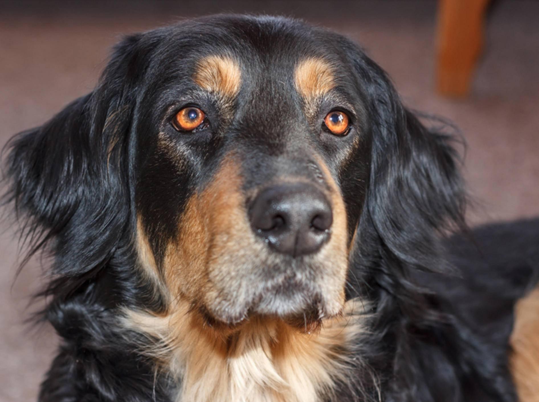 Dieser süße Hovawart hat einen besonders treuen Hundeblick drauf – Shutterstock / Barbora Peskova