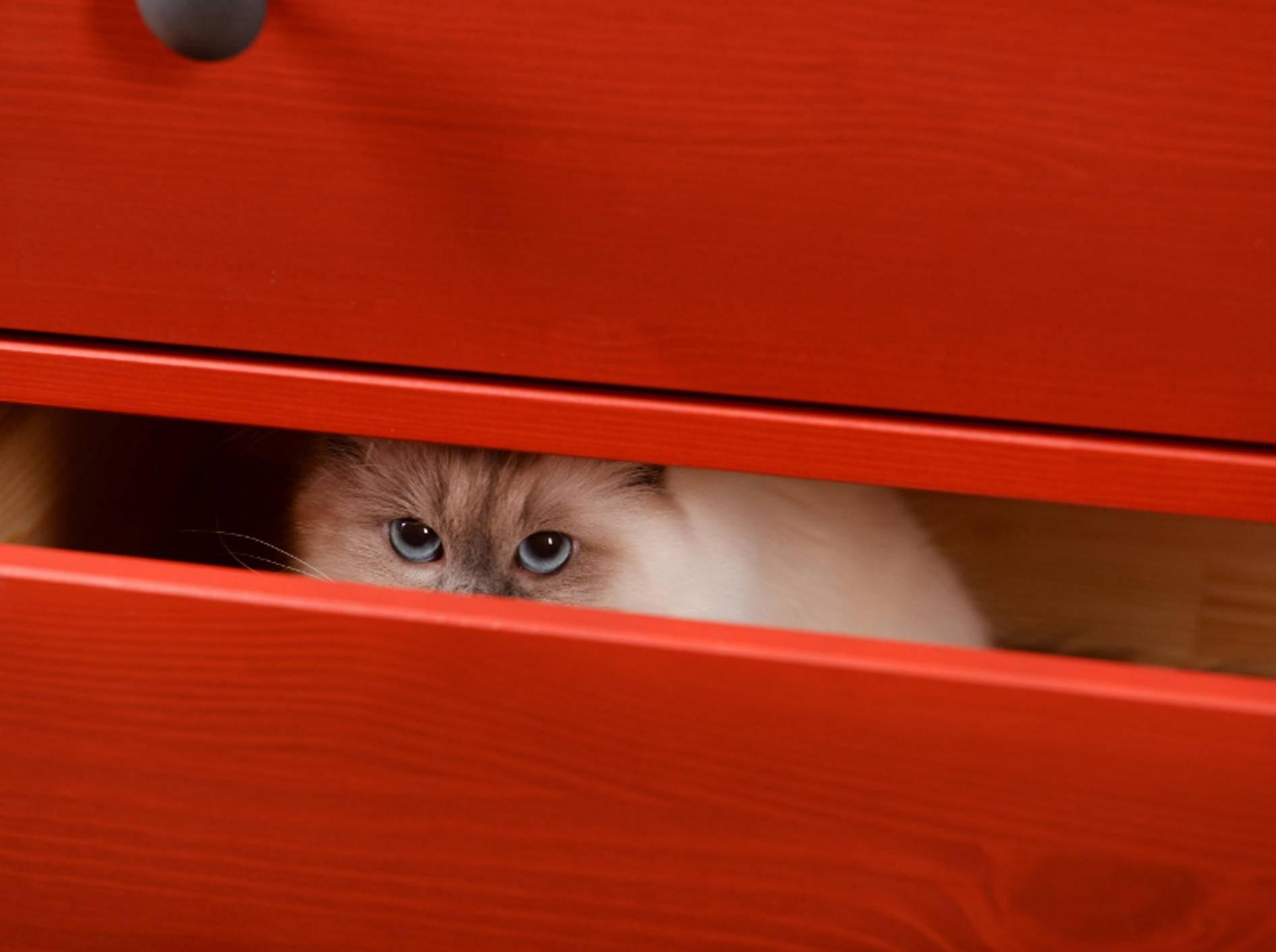 Huch!? Da hockt ja Miezi in der Schublade! Katzen verstecken sich an den verrücktesten Orten – Shutterstock / Africa Studio