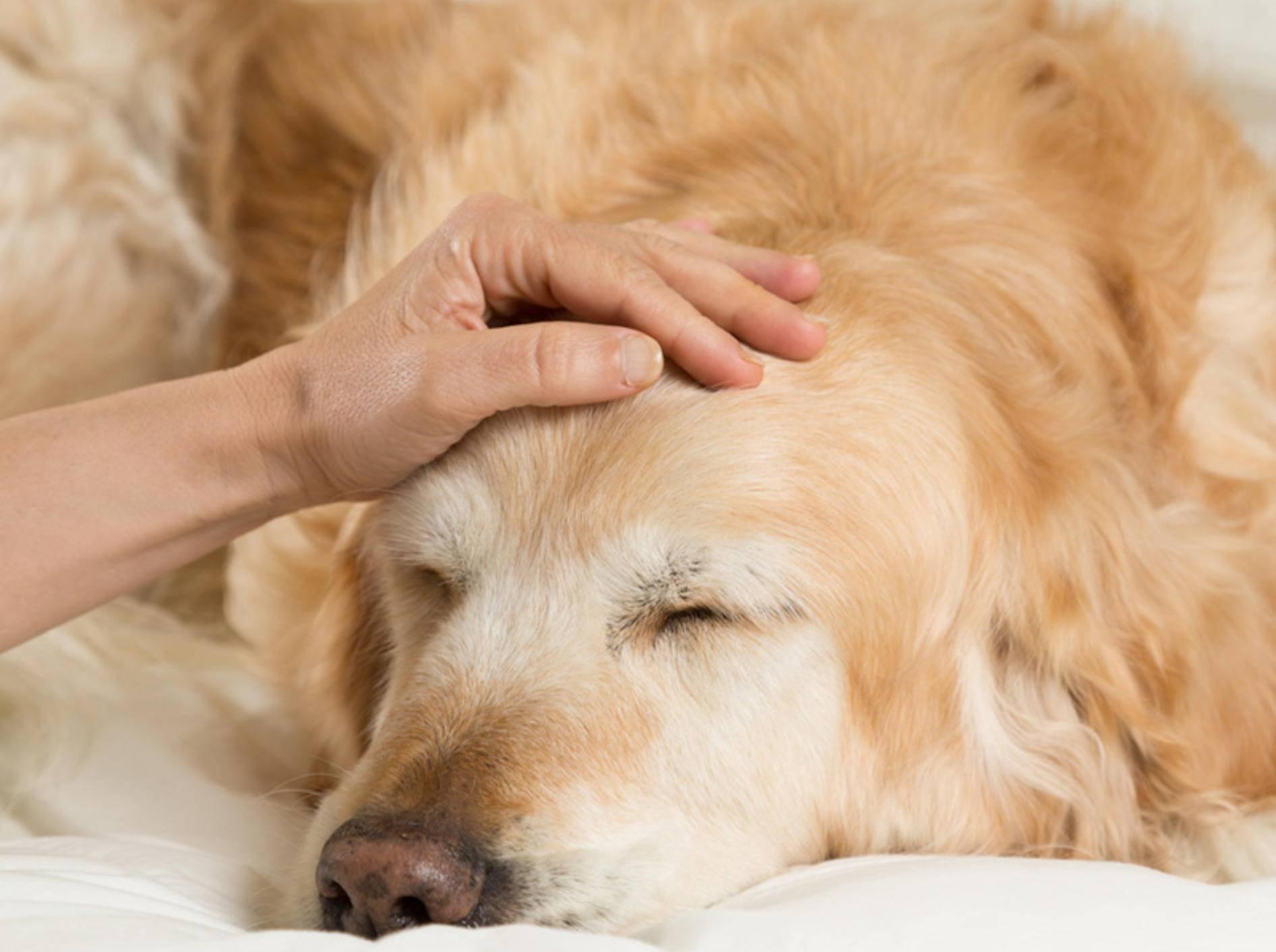 Fiebermessen beim Hund ist wichtig, wenn der Vierbeiner müde und apathisch wirkt – 135pixels / Shutterstock