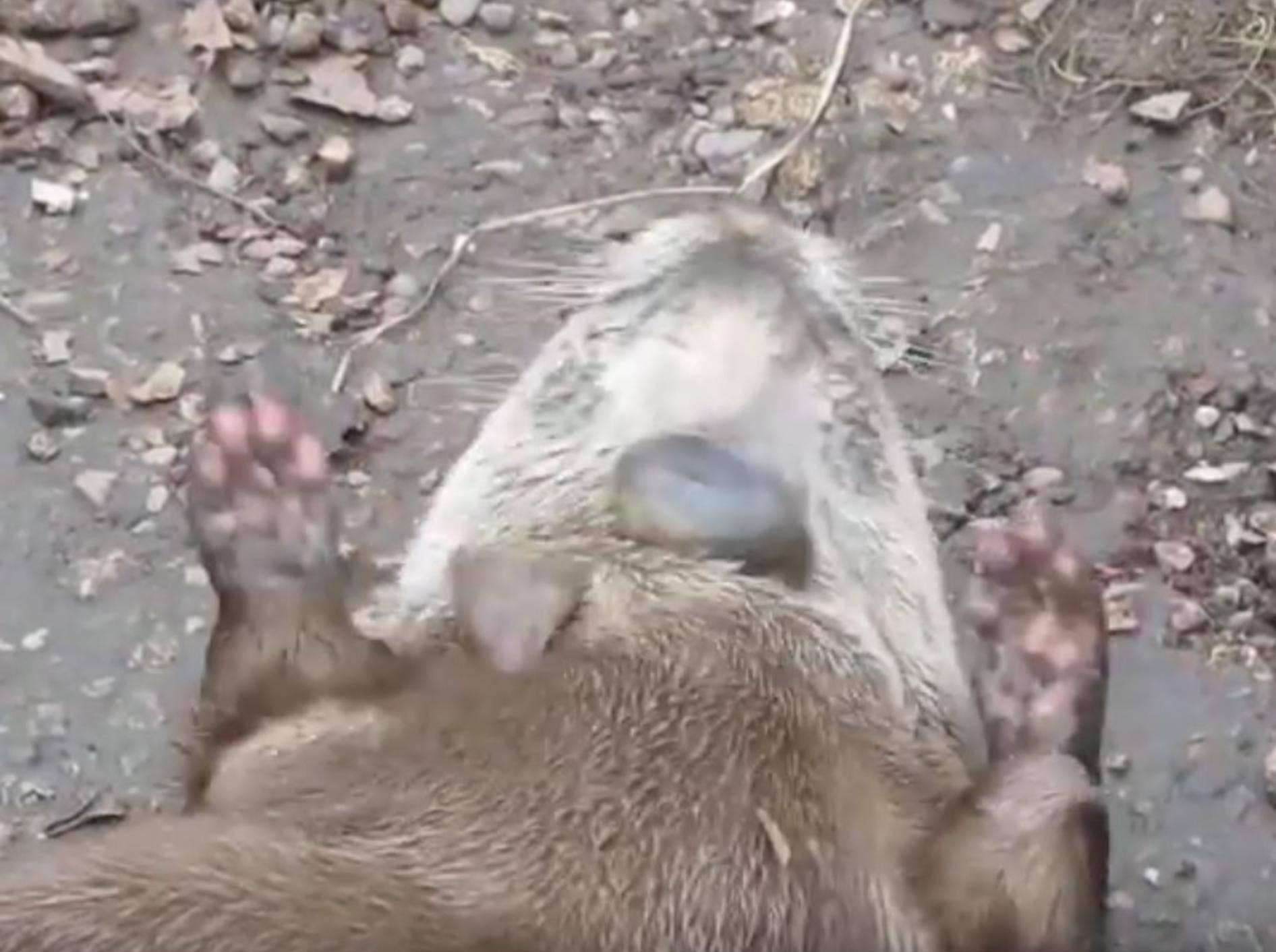 Geschickt, geschickt, Herr Otter! – YouTube / mickeysutube