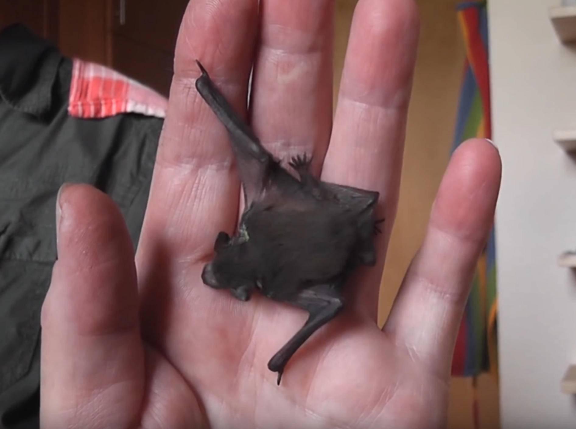 Kleine Baby-Fledermaus und Spatz werden gefüttert – YouTube / mbhsug