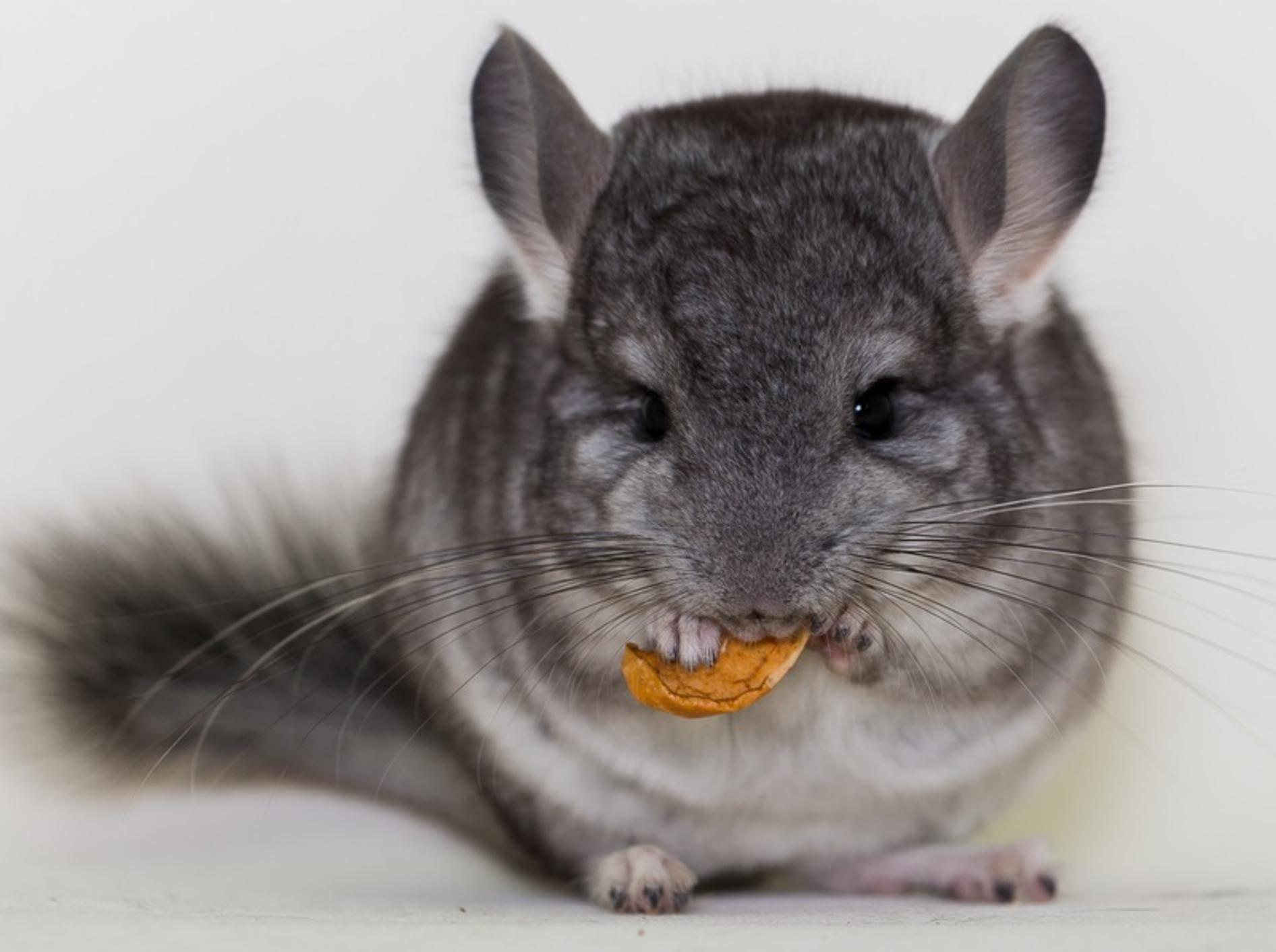 Na was fressen wir den heute? Auch die Ernährung von Chinchillas kann vielseitig sein! – Shutterstock / Ekaterina Krivtsova