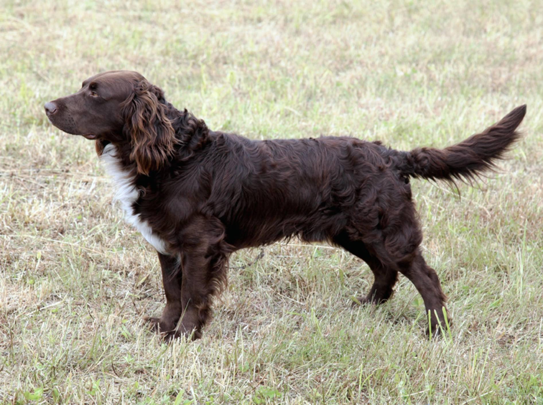 Dieser Deutsche Wachtelhund passt gerade besonders gut auf – Shutterstock / Capture Light