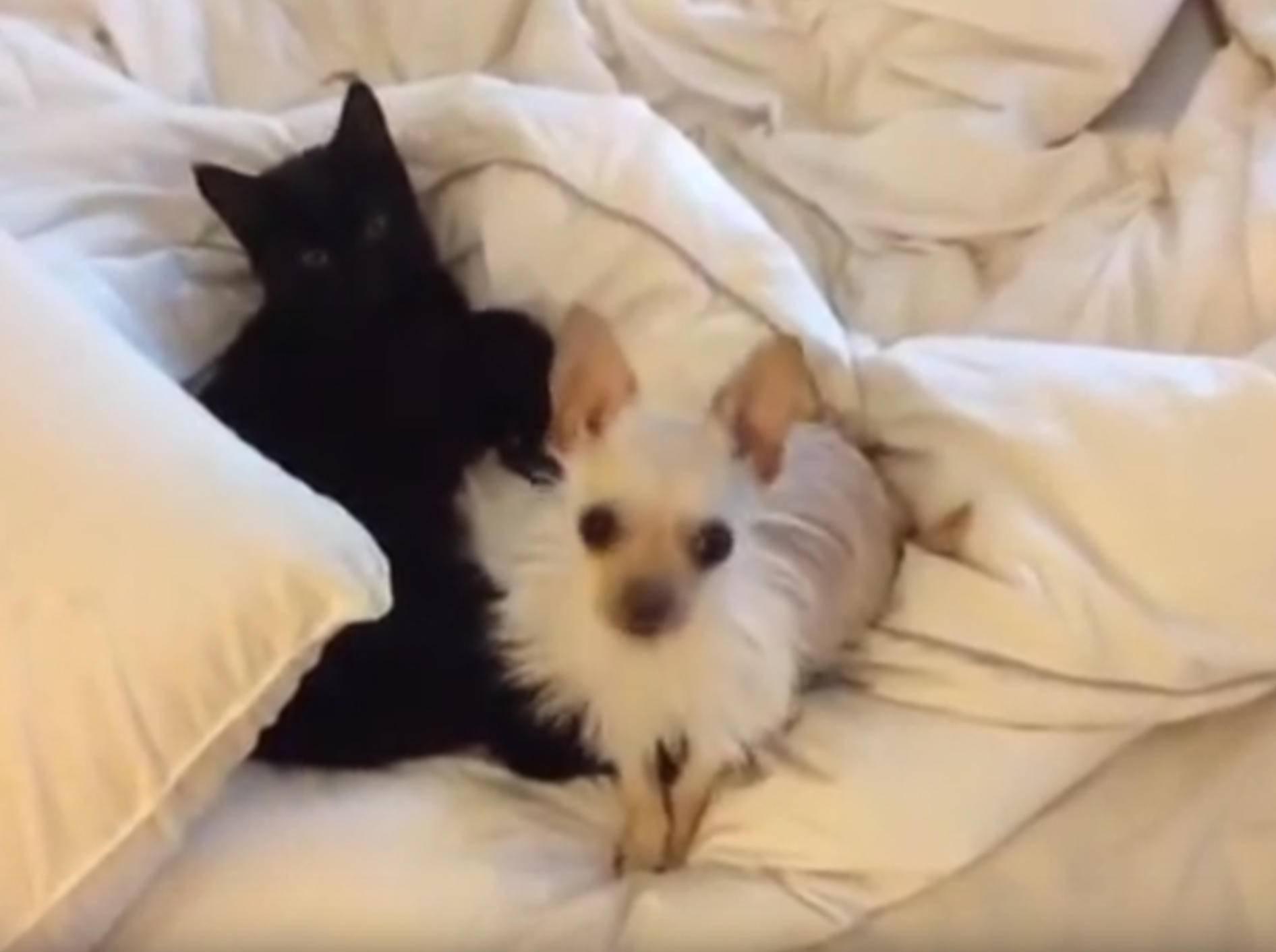 Farm-Chihuahua Lola beknubbelt Kätzchen Virginia – YouTube / Sunflower Farm Creamery