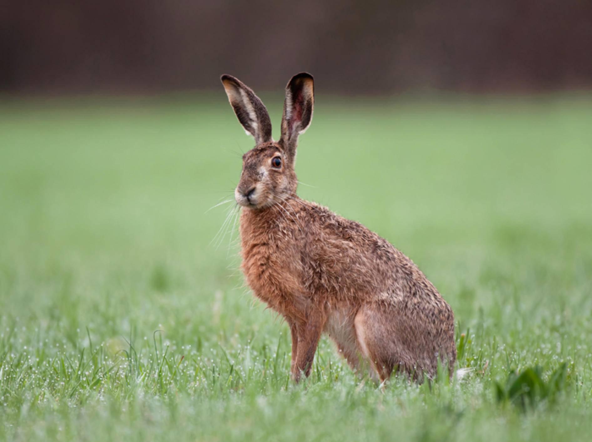 """""""Gestatten, mein Name ist Hase, auch bekannt als Meister Lampe"""", stellt sich dieser hübsche Feldhase vor – Shutterstock / Soru Epotok"""
