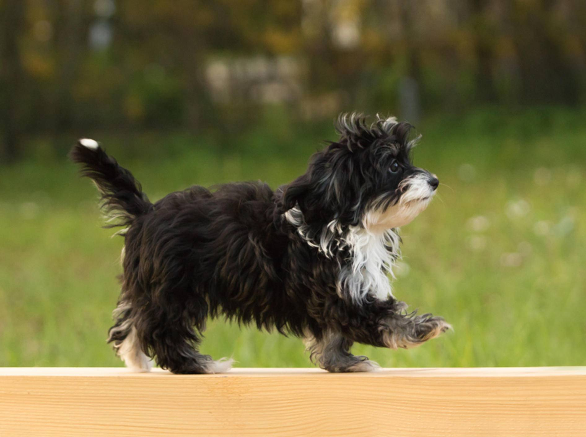 Dieser kleine Havaneser stellt seine Geschicklichkeit beim Agility-Training unter Beweis – Shutterstock / Sandra Huber
