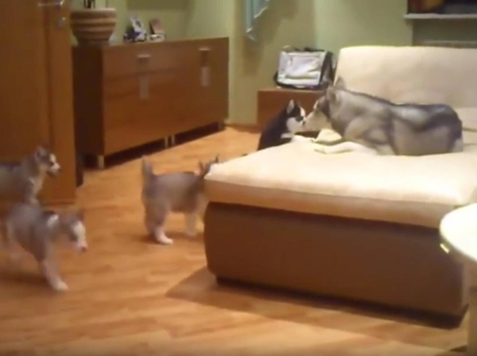Zuckersüße Hundefamilie: Husky-Mama spielt mit Welpen – YouTube / assa op