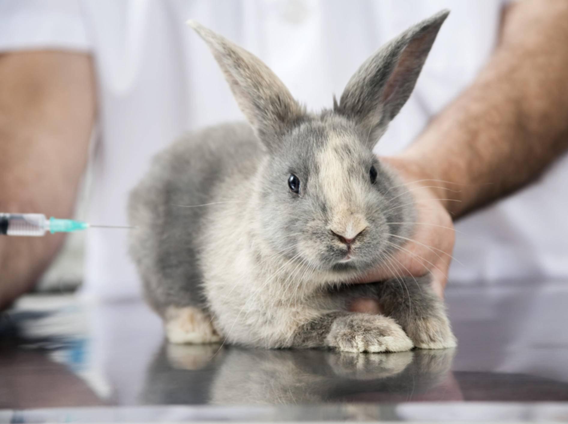"""Bei der Kaninchen-Impfung muss dieser kleine """"Klopfer"""" nun ganz tapfer sein – Shutterstock / Tyler Olson"""