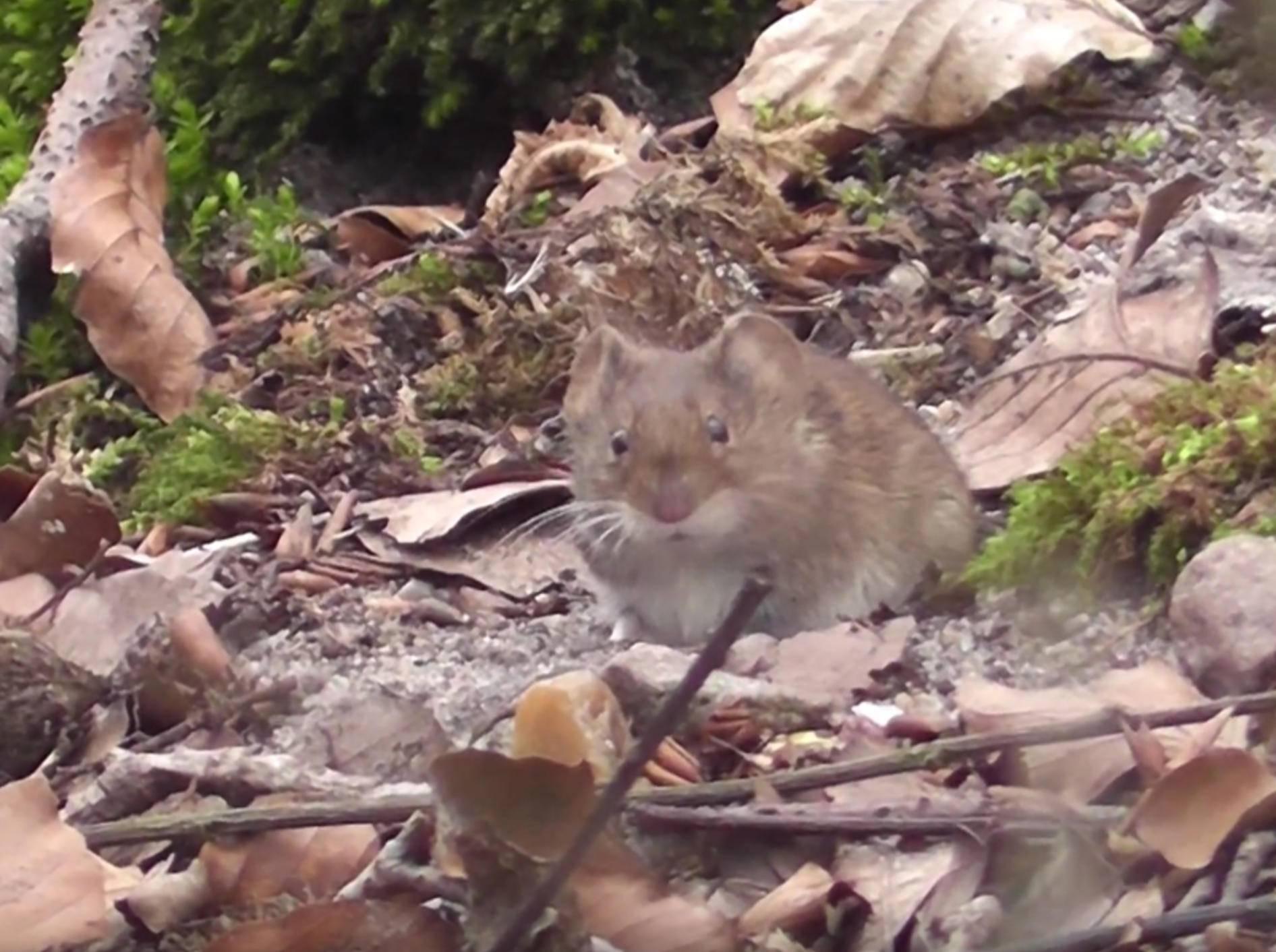 Niedliche Maus im Wald tut sich an Bucheckern gütlich – YouTube/mbhsug