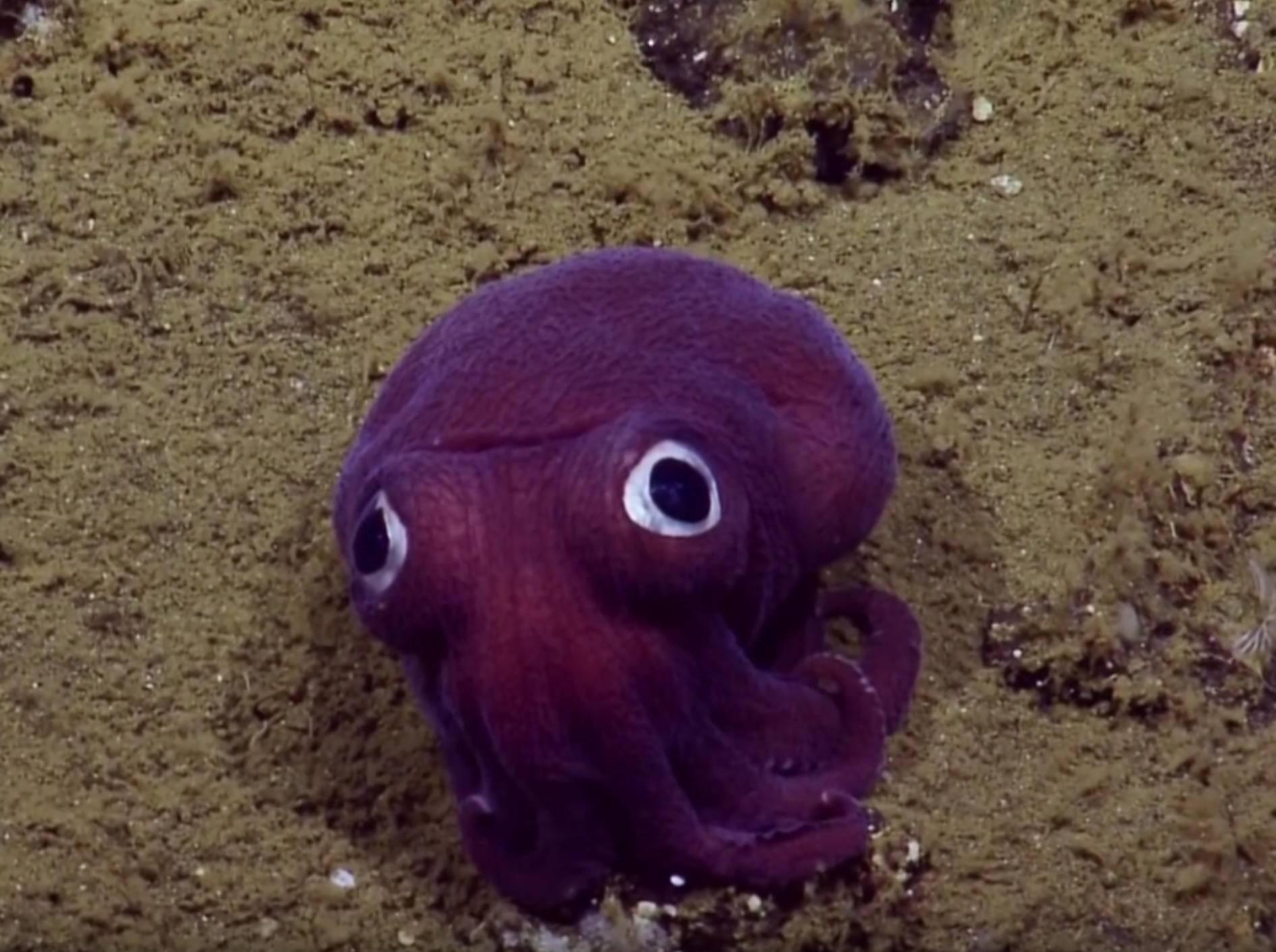 Putziger Tintenfisch bringt Wissenschaftler zum Lachen – YouTube / EVNautilus