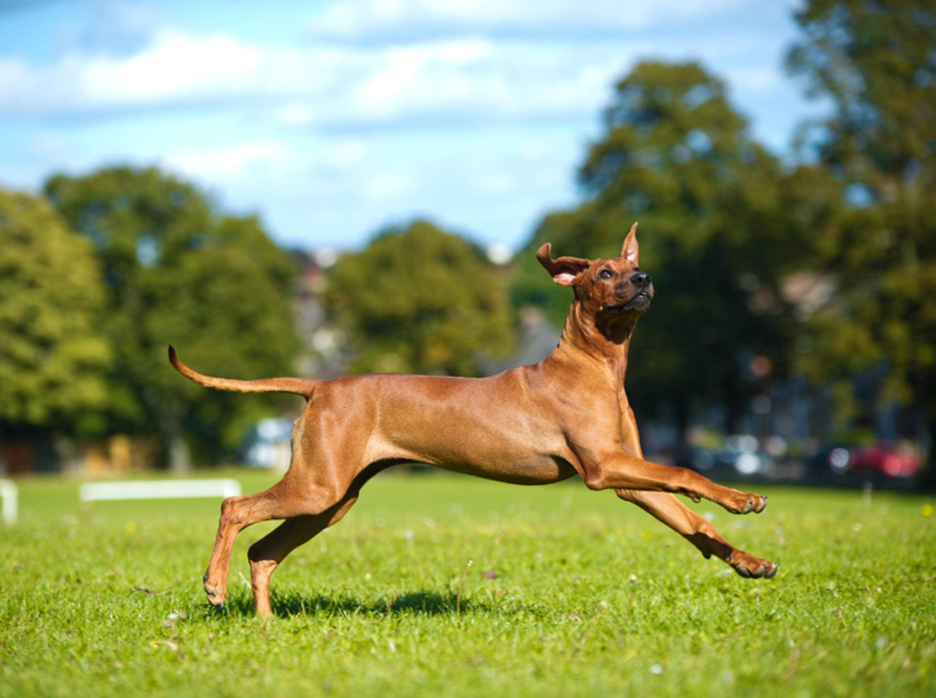 Beim Hundesport kann sich der Rhodesian Ridgeback so richtig austoben – Shutterstock / Tatiana-Katsai