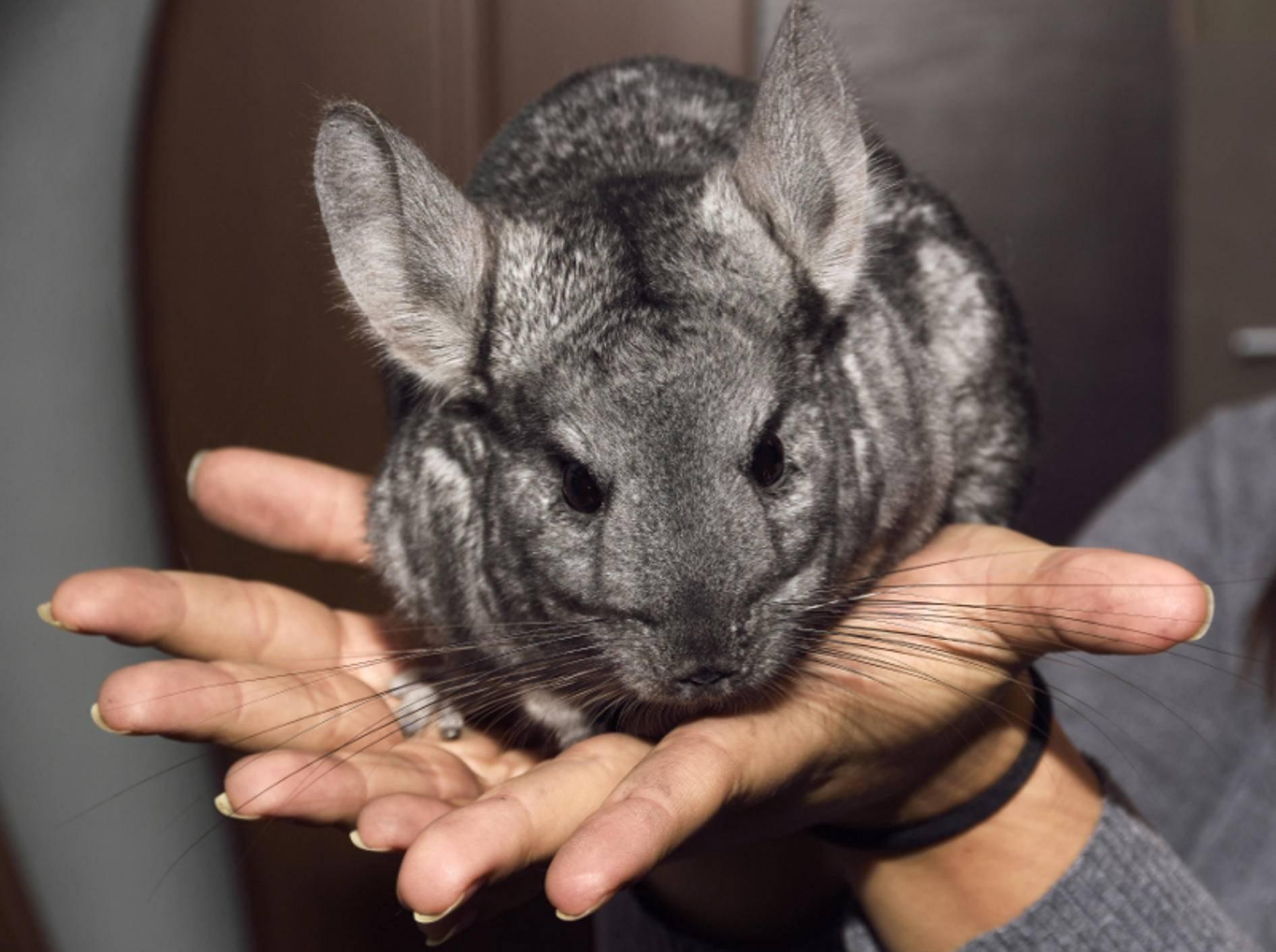 Tatsächlich haben Chinchillas im Vergleich zu anderen Nagern eine sehr hohe Lebenserwartung – Shutterstock / Barsan ATTILA