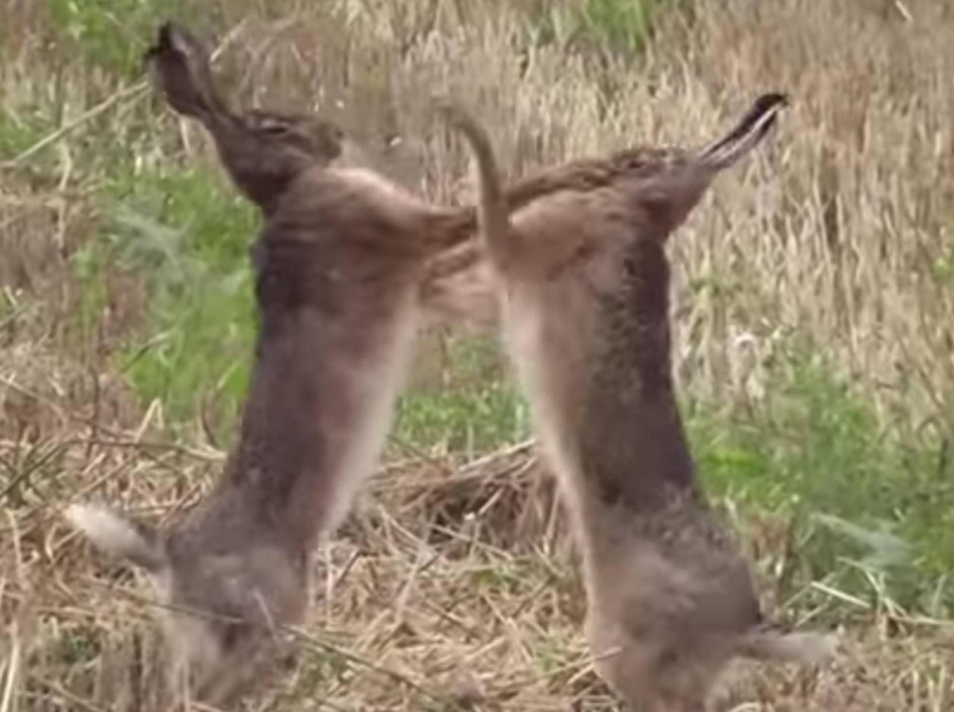 Sieht in Zeitlupe noch krasser aus: Feldhasen im handfesten Streit – YouTube / mbhsug