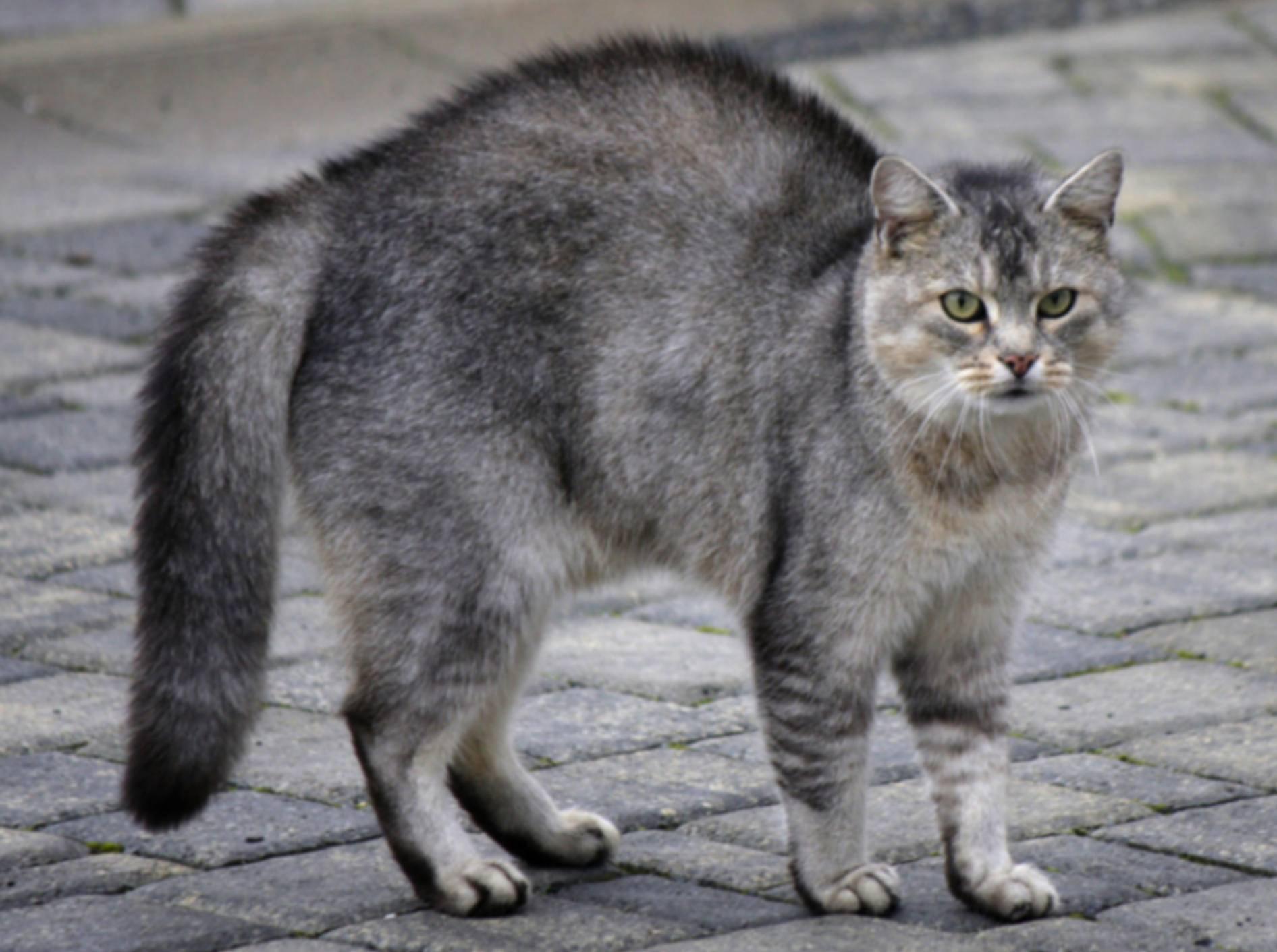 Der Katzenbuckel in der Katzensprache ist gar nicht mal so eindeutig – Bild: Shutterstock / Saxony