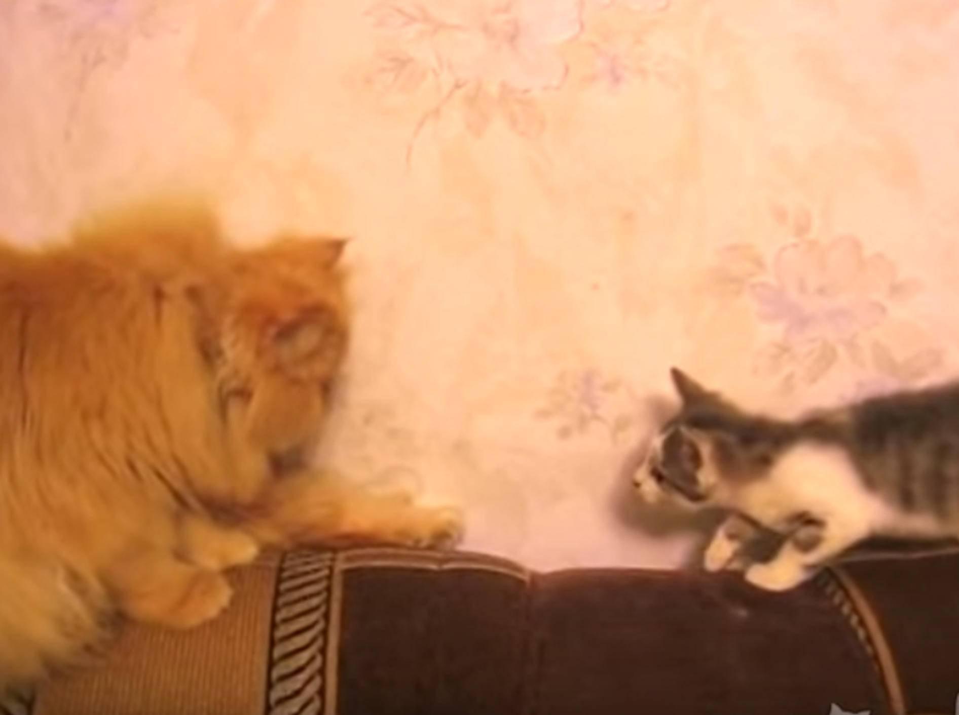 Kätzchen will mit großem Kumpel spielen und bekommt eins auf die Zwölf - YouTube / ignoramusky
