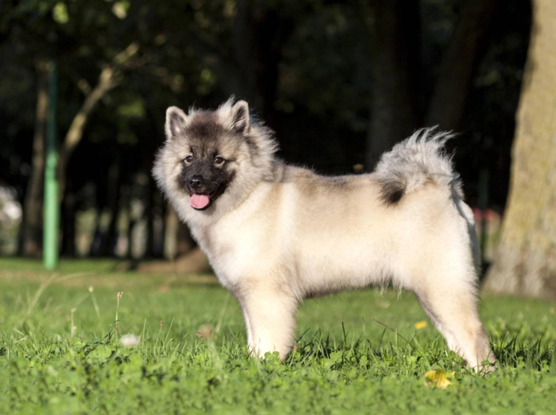 Ein Wolfsspitz ist ein toller Hund, den Sie gut erziehen und sowohl körperlich als auch geistig fördern sollten – Shutterstock / David Pegzlz