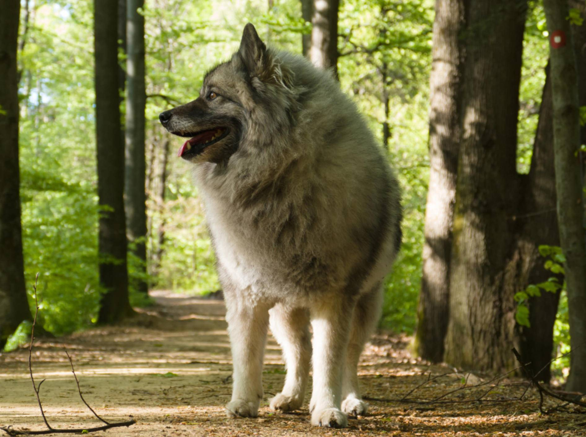 Ein Wolfsspitz sollte geistig und körperlich gefördert und gefordert werden, macht in Sachen Pflege und Haltung aber grundsätzlich weniger Arbeit als andere Hunde – Shutterstock / Sanja Karin Music