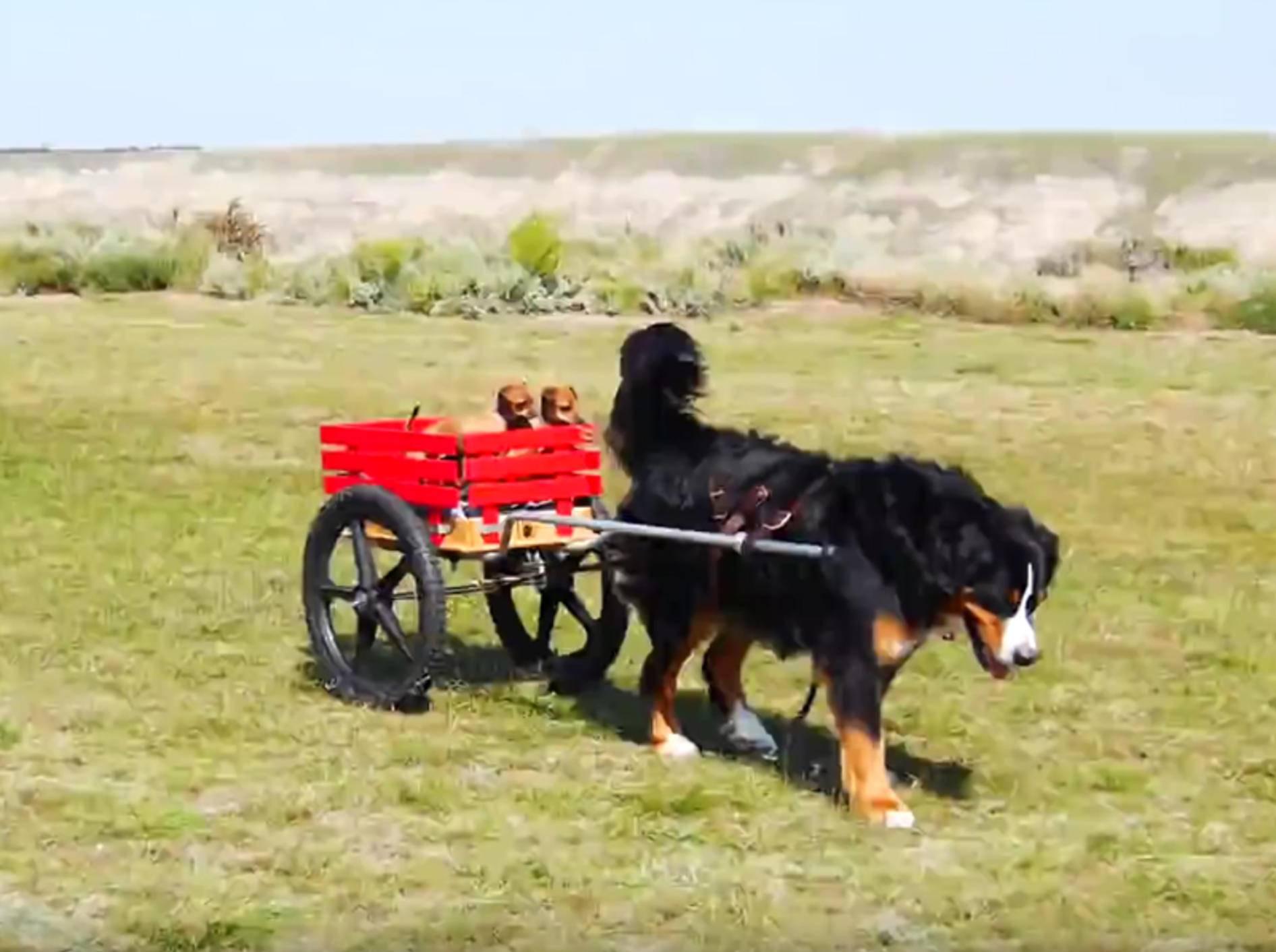 Berner Sennenhund fährt Chihuahua-Freunde spazieren – YouTube / Rumble Viral