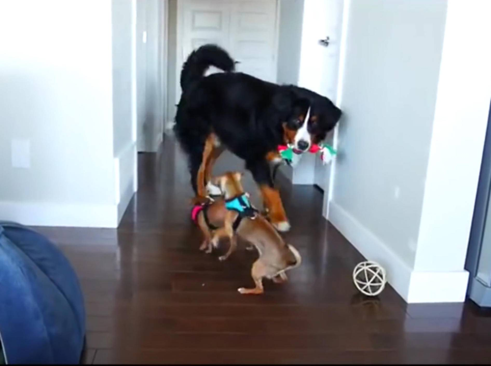 Berner Sennenhund will unbedingt mit Chihuahuas spielen – YouTube / Rumble Viral