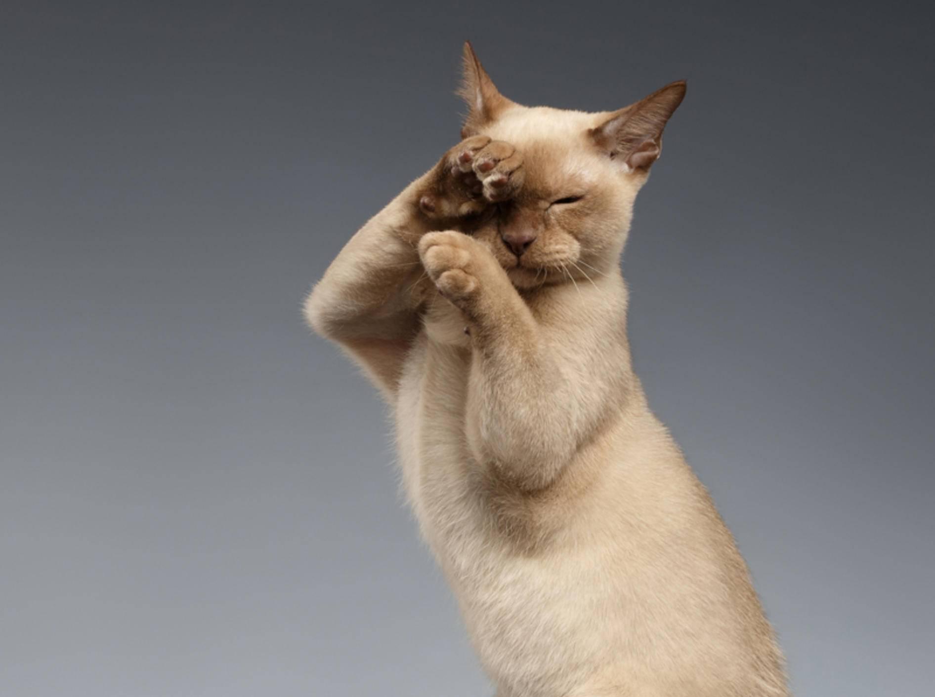 """""""Training? Ich? Aber ich bin doch schon perfekt!"""", scheint diese Burma-Katze zu denken – Shutterstock / Seregraff"""