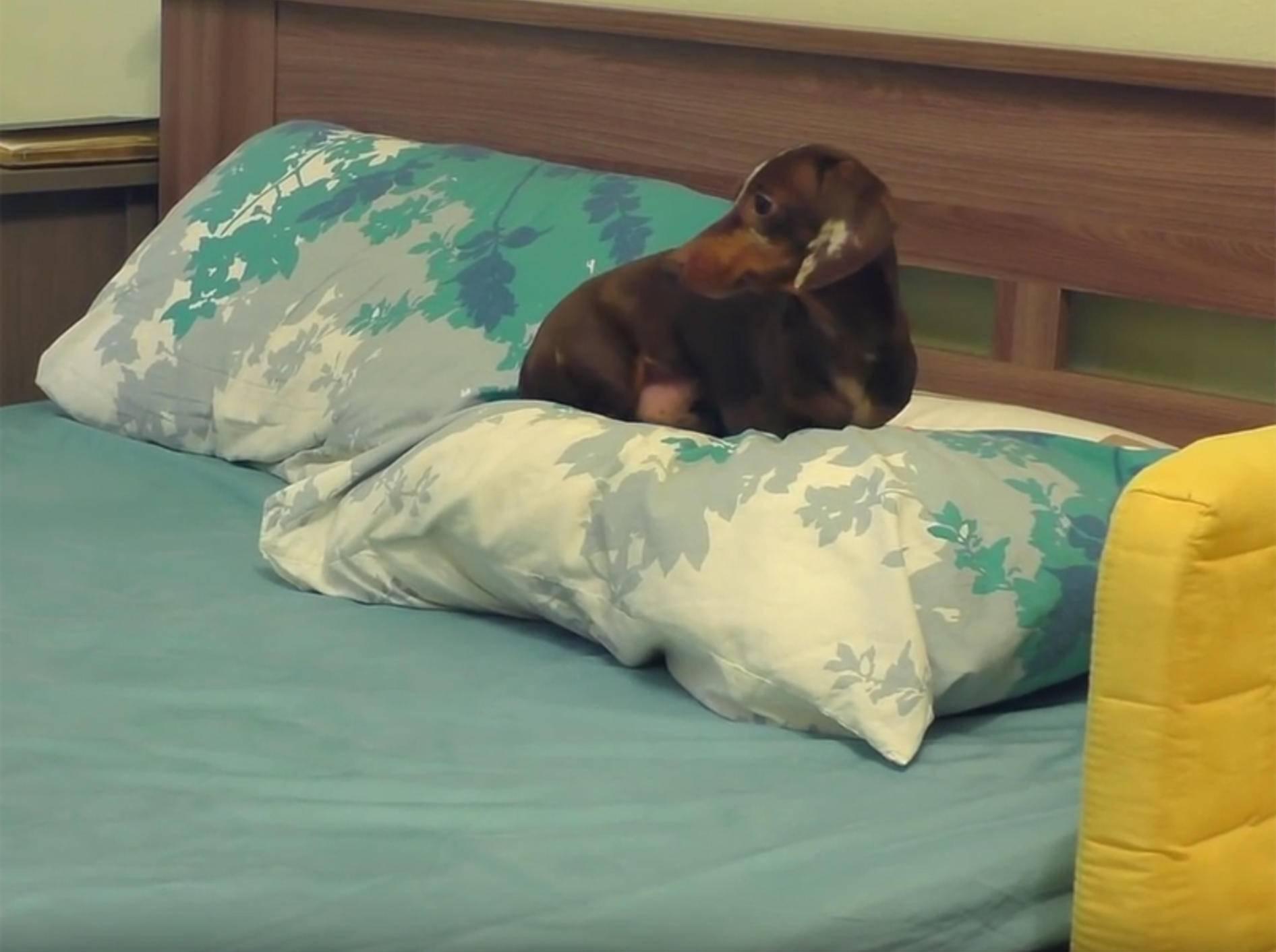 Dackel Pepper macht es sich für Schläfchen extrabequem – YouTube / Always Hungry Cat