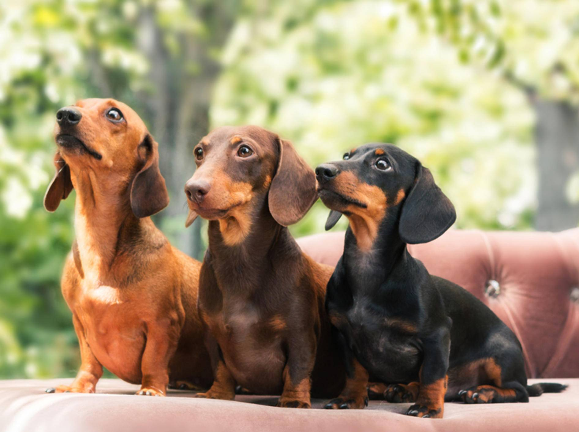 Die eigensinnigen und liebenswerten Dackel gelten häufiger mal als sture Hunde – Shutterstock / OlgaOvcharenko